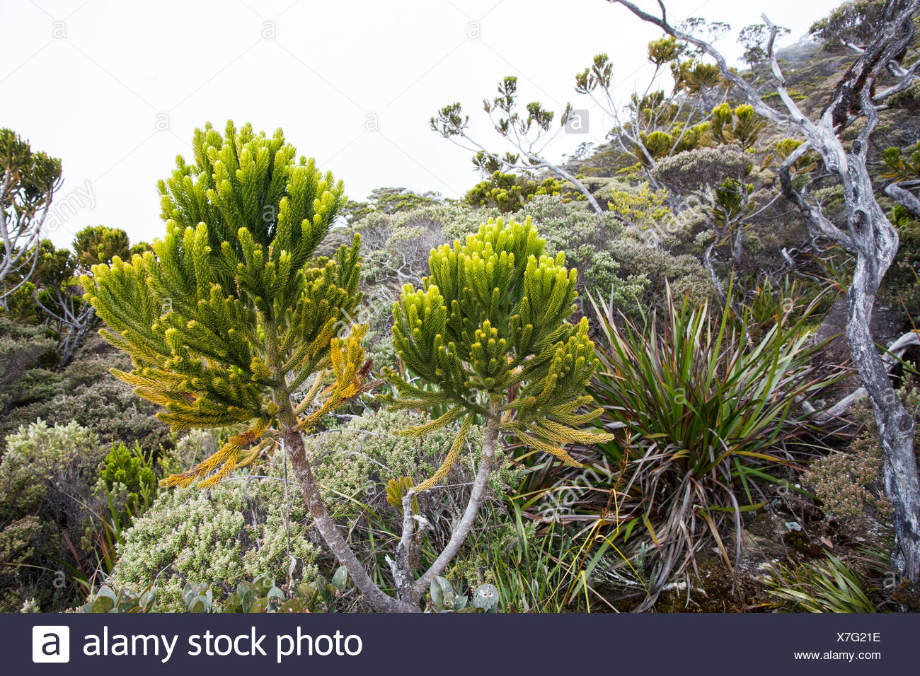 Gymnosperms grow in the high altitude areas of Mount Kinabalu. - Stock Image