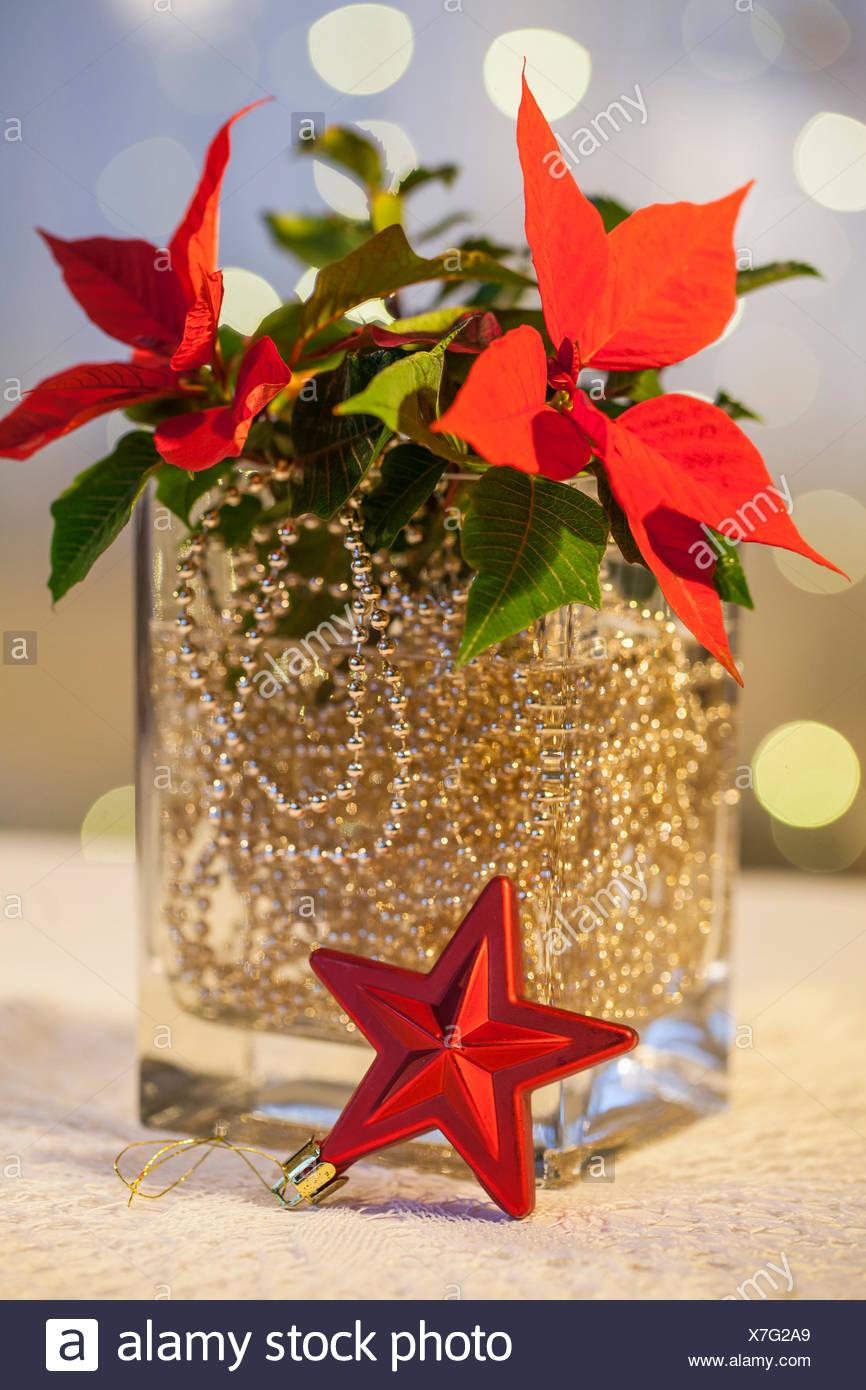 Material Poinsettia Gold Ball Chain Glass Vase Water Red Christmas Ornament Organza Ribbon Procedure Golden Ball Chain Put In A Glass Vase With Water And Add Flower Poinsettia On Christmas Decoration Organza
