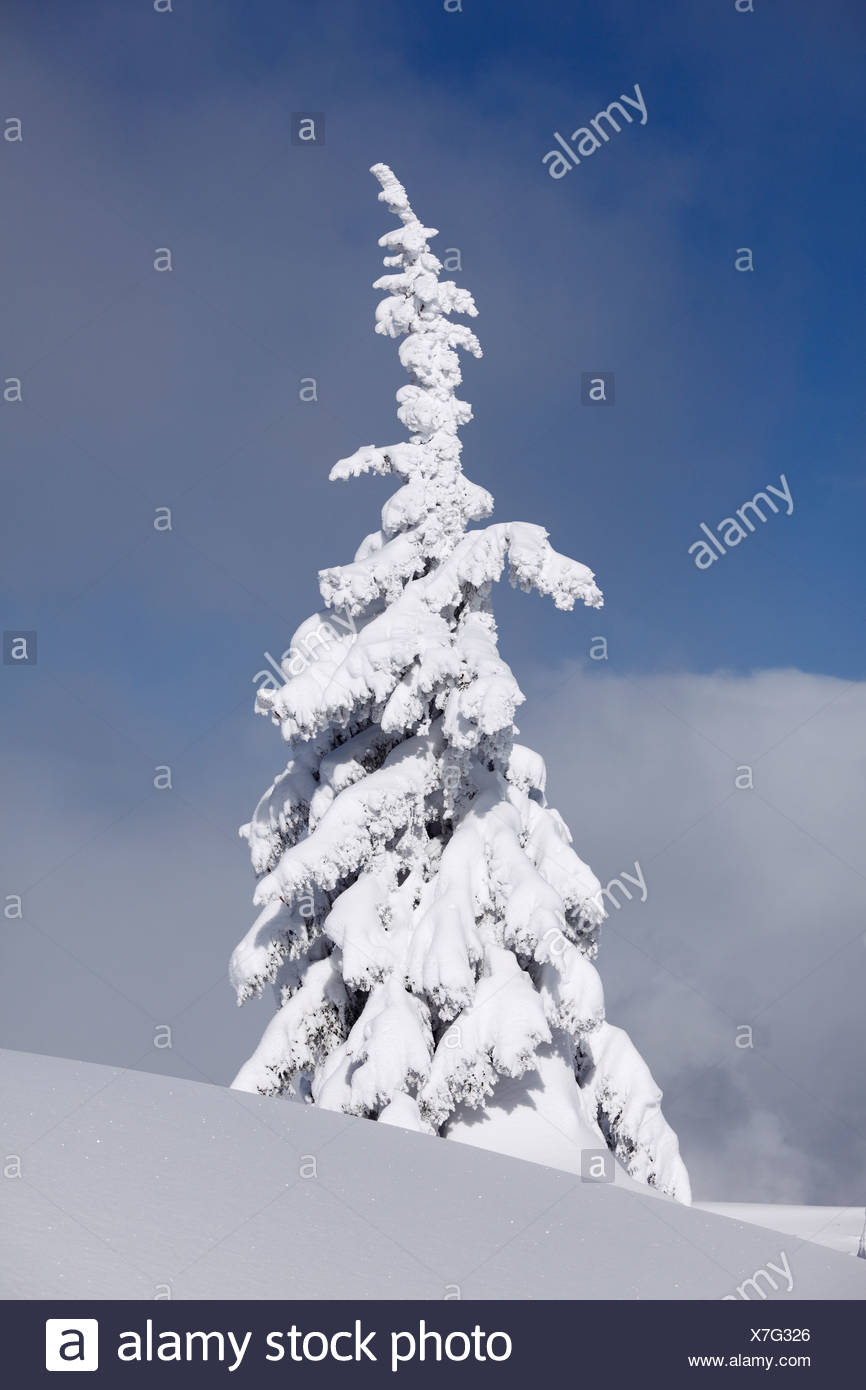 Snow covered spruce tree, Gasslhoehe, Reiteralm alp, Pichl-Preunegg, Styria, Austria, Europe - Stock Image