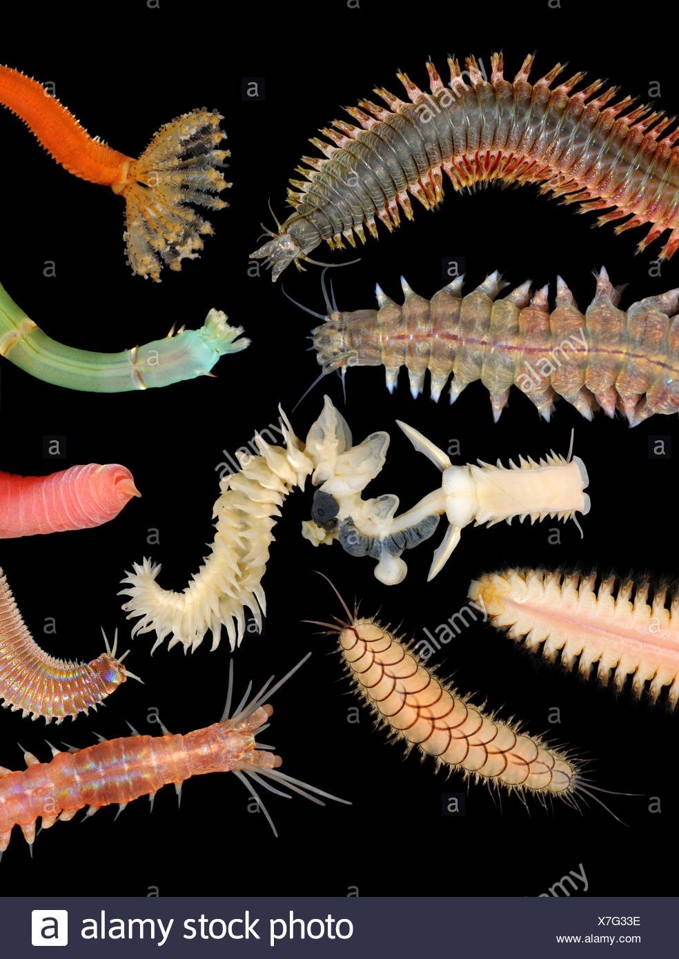 Polychaete Worms - Stock Image