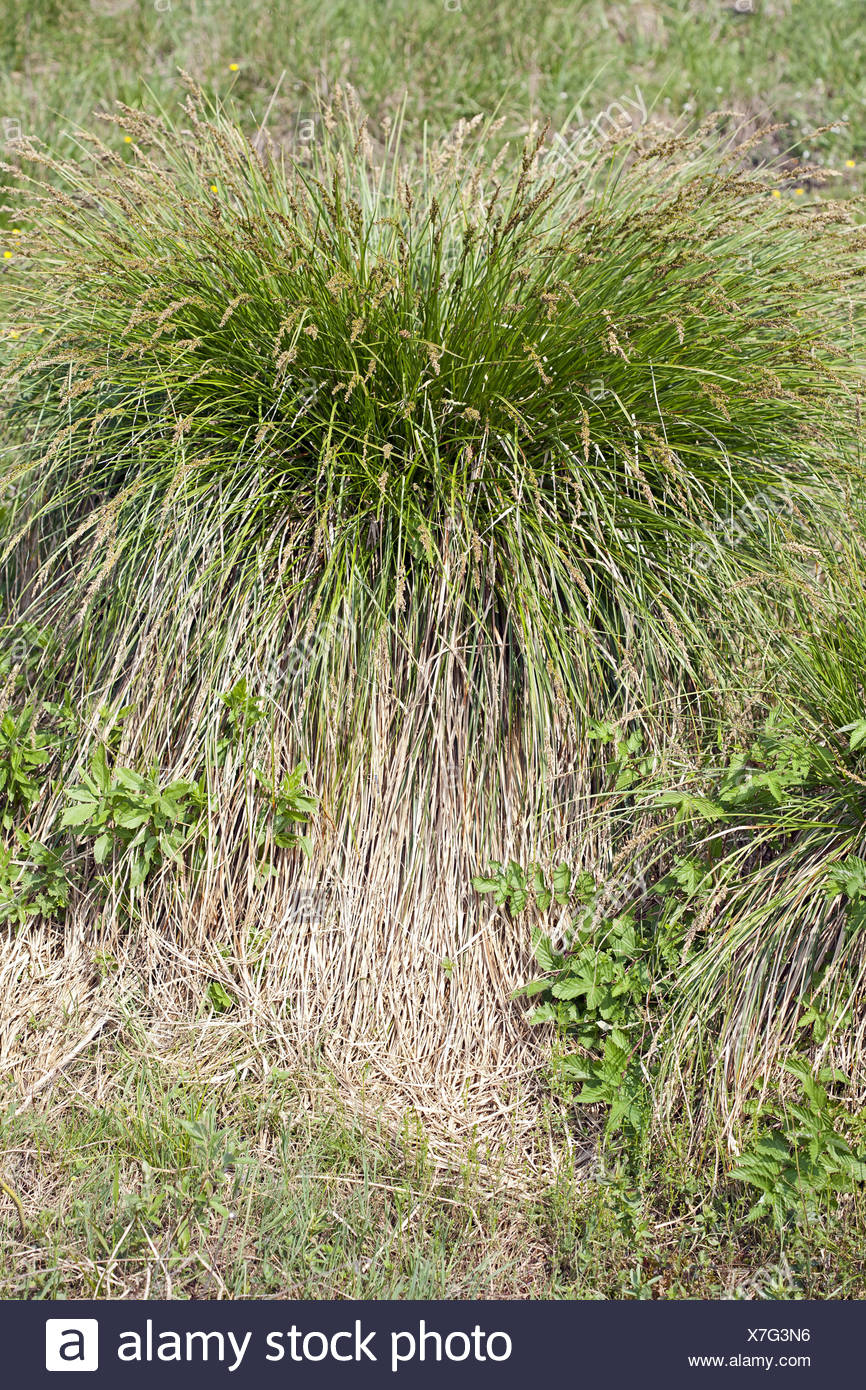 Carex paniculata, Greater Tussock Sed - Stock Image