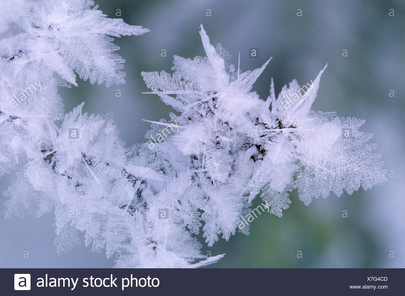 leaves, hoarfrost, glazed frost, denali national park, alaska, usa, - Stock Image