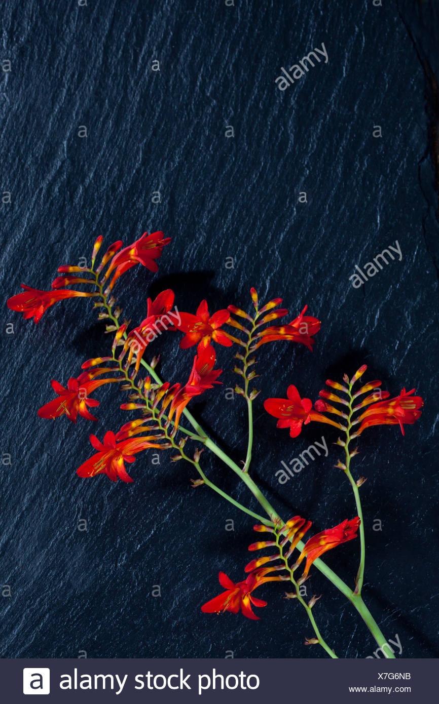Red montbretia against black background - Stock Image