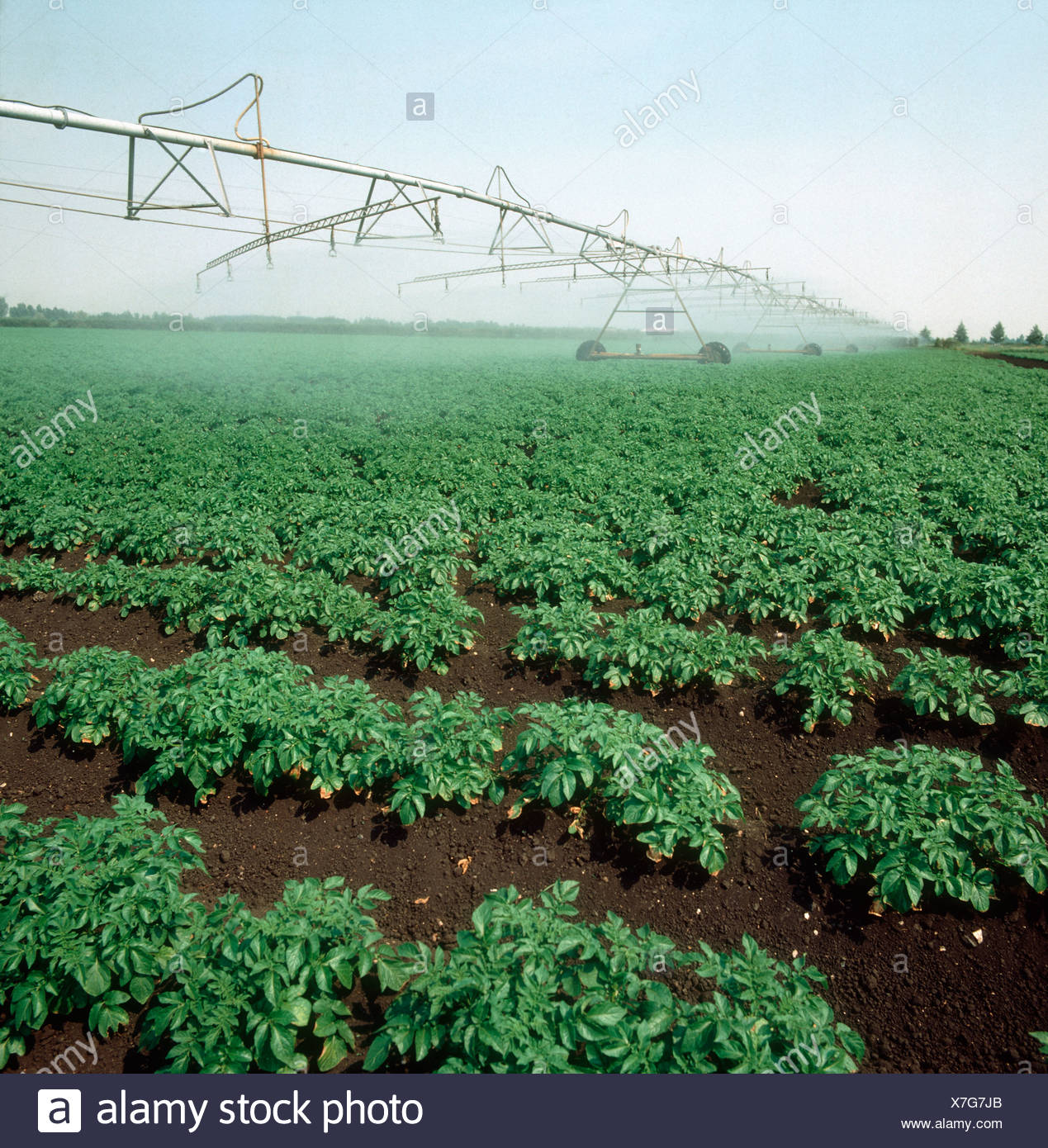 Mid term potato crop with large linear sprinkler irrigation boom in operation - Stock Image