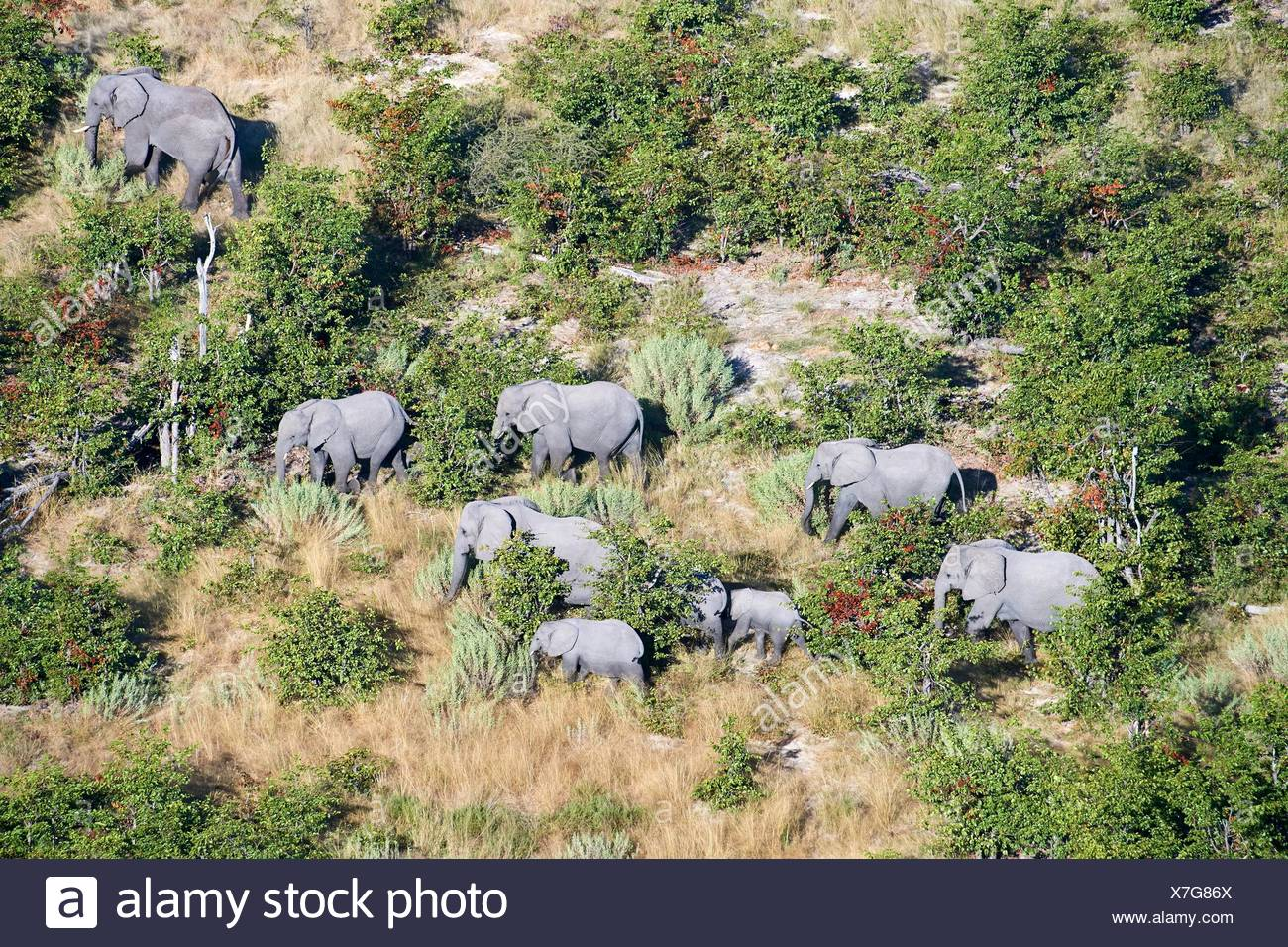 Aerial view of herd of African elephants (Loxodonta africana) walking on dry land, Okavango delta, Botswana, Africa. Stock Photo