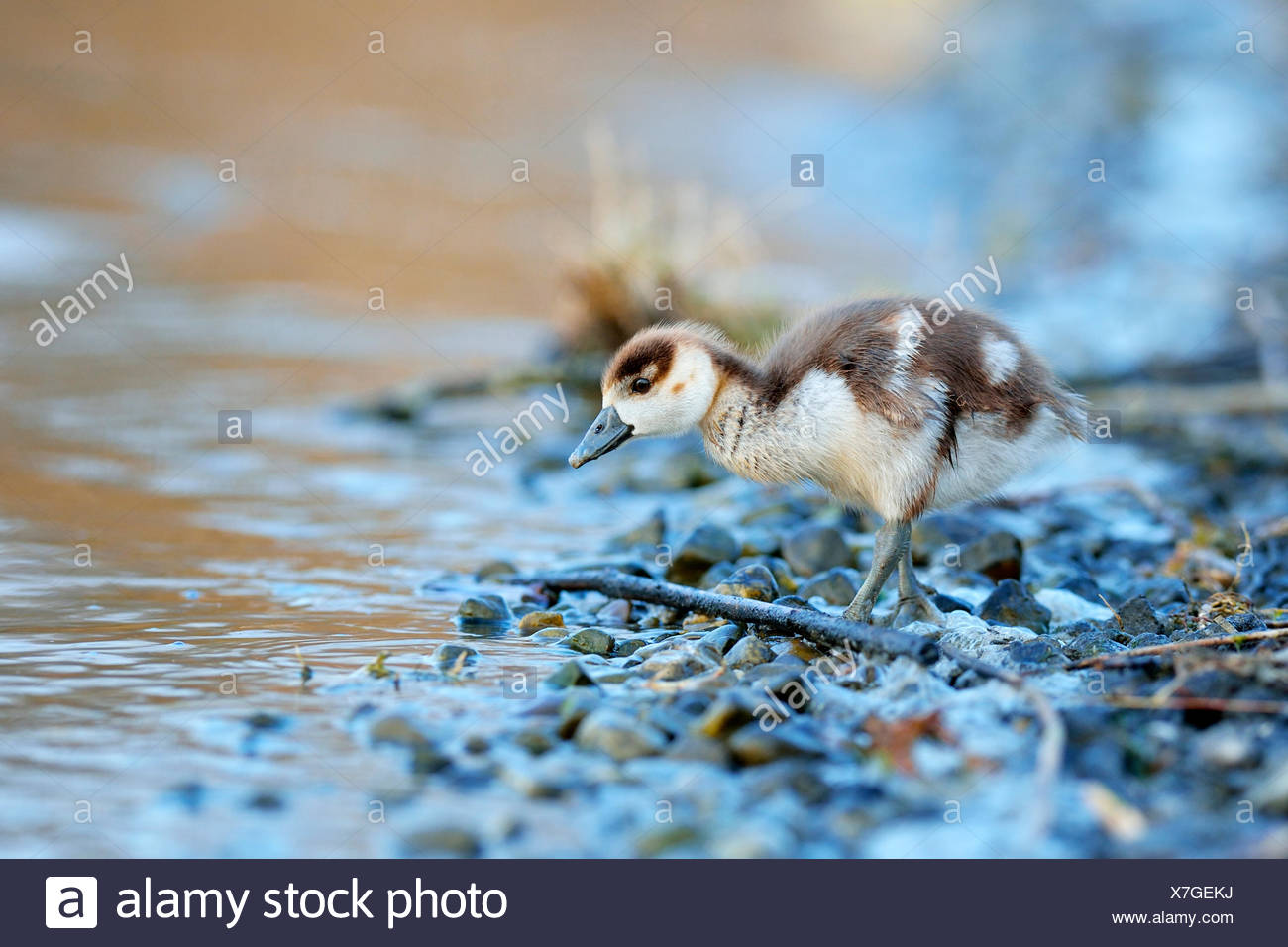 Egyptian goose (Alopochen aegyptiacus) chick, foraging by the water, Zug, Canton of Zug, Switzerland - Stock Image