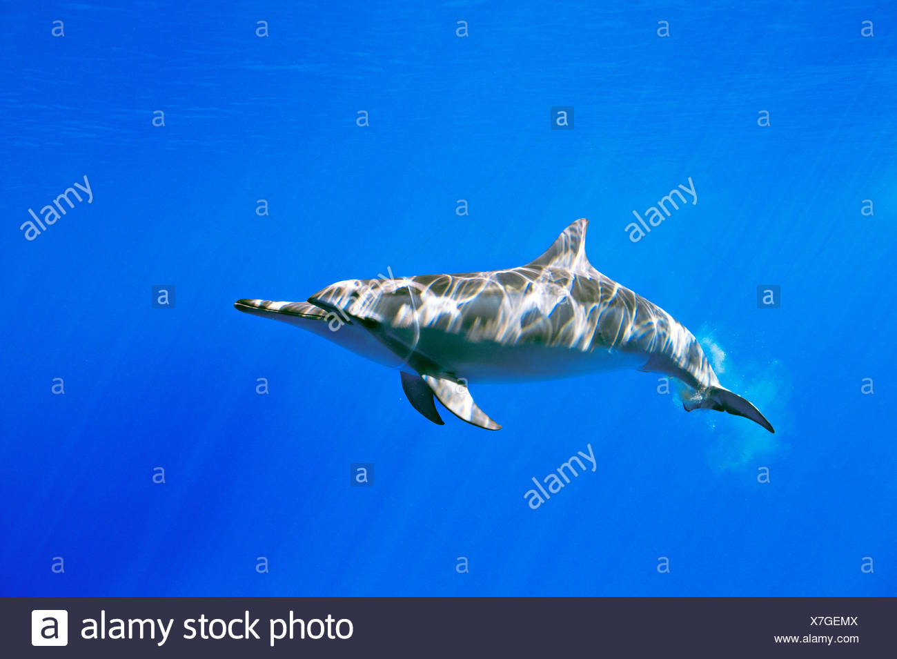 A spinner dolphin, Stenella longirostris, swims in waters off Oahu, Hawaii. - Stock Image