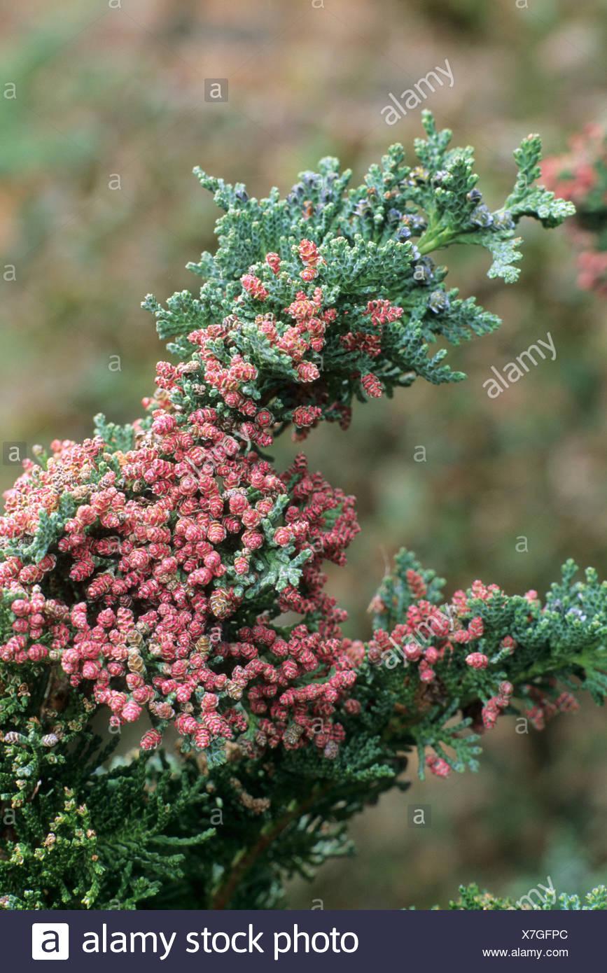 Chamaecyparis lawsoniana 'Wisselii' Stock Photo
