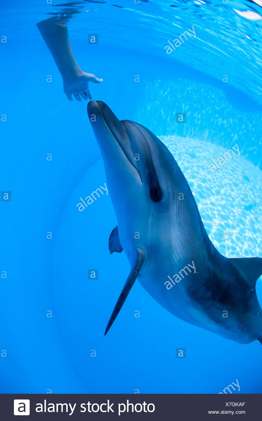 Dolphin swims under the water - Stock Image