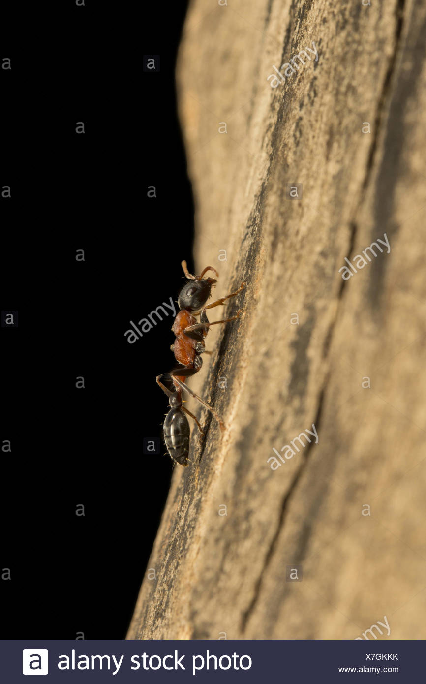 Arboreal bicolored ant, Formicidae, Aarey milk colony Mumbai , India Stock Photo