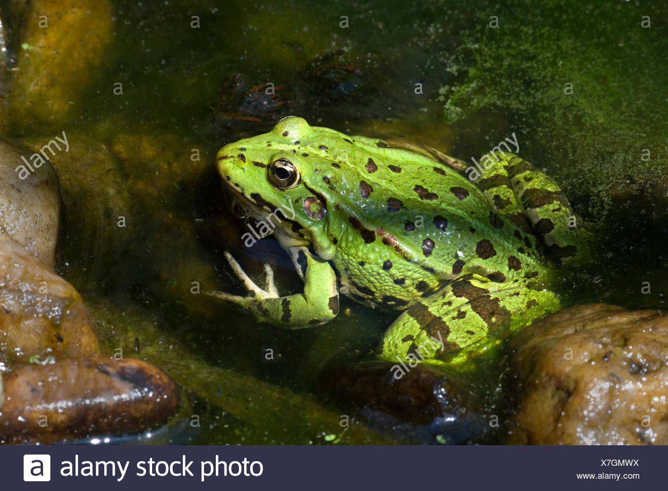 The edible frog (Rana esculenta), water, Burgenland, Austria - Stock Image