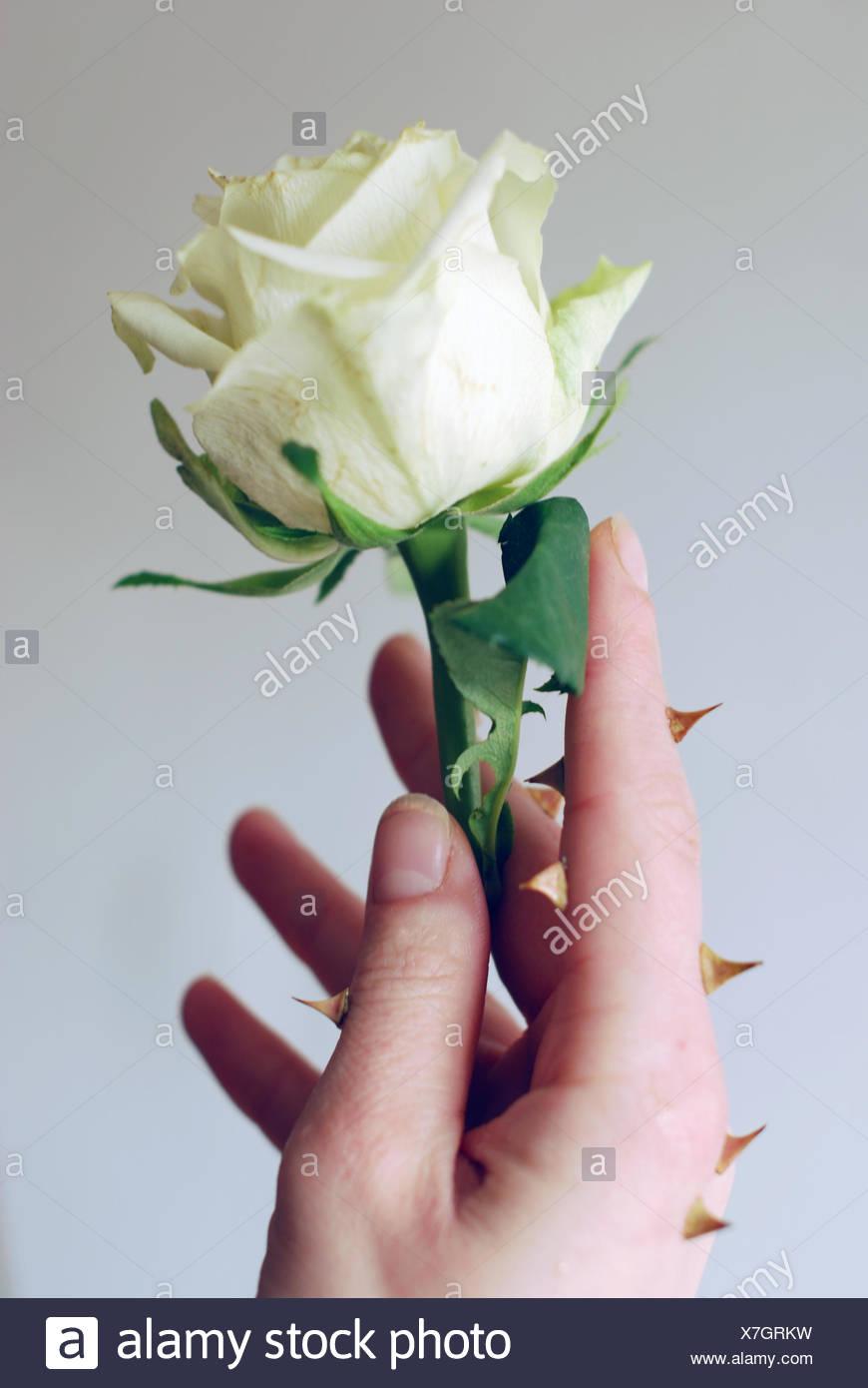 hand flower plant rose bloom blossom flourish flourishing hold sting hand - Stock Image
