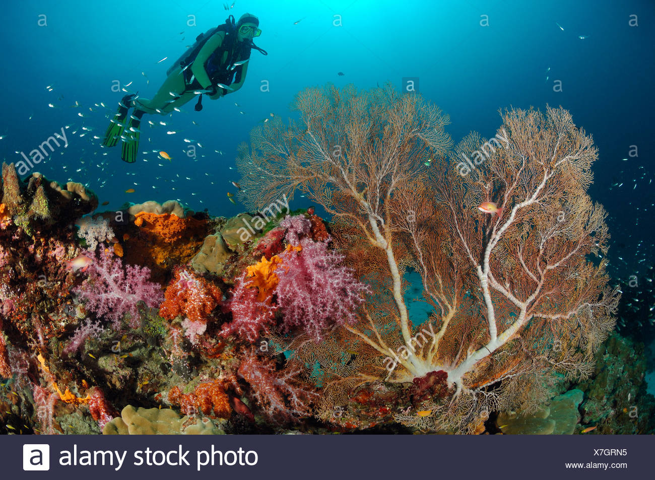 Scuba diving over Coral Reef, Similan Islands, Thailand - Stock Image