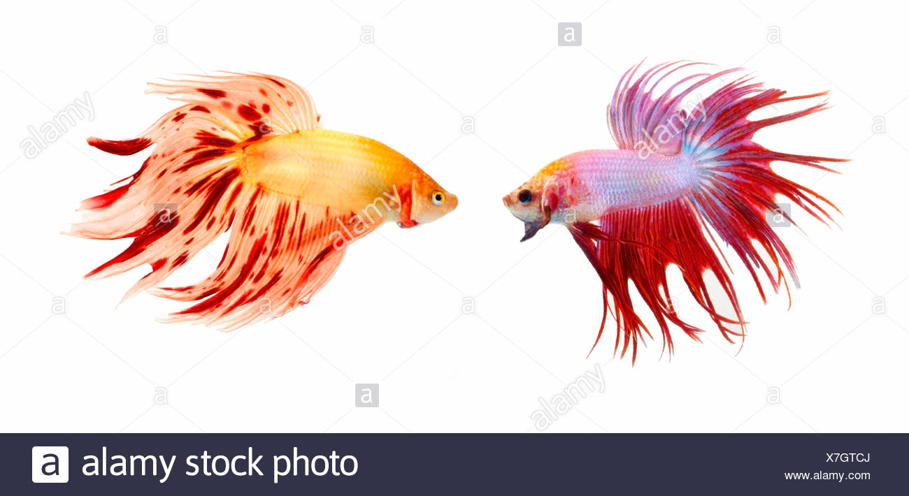 Two Colorful Fish With Long Fins - Stock Image
