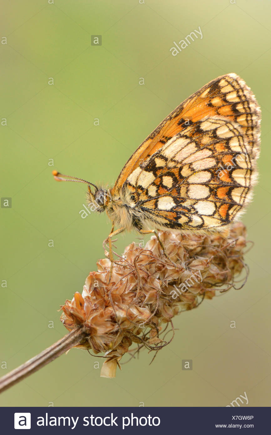 Fritillary butterfly (melitaea spec.), perched on a wilted flower, Valle Verzasca, Kanton Tessin, Switzerland - Stock Image