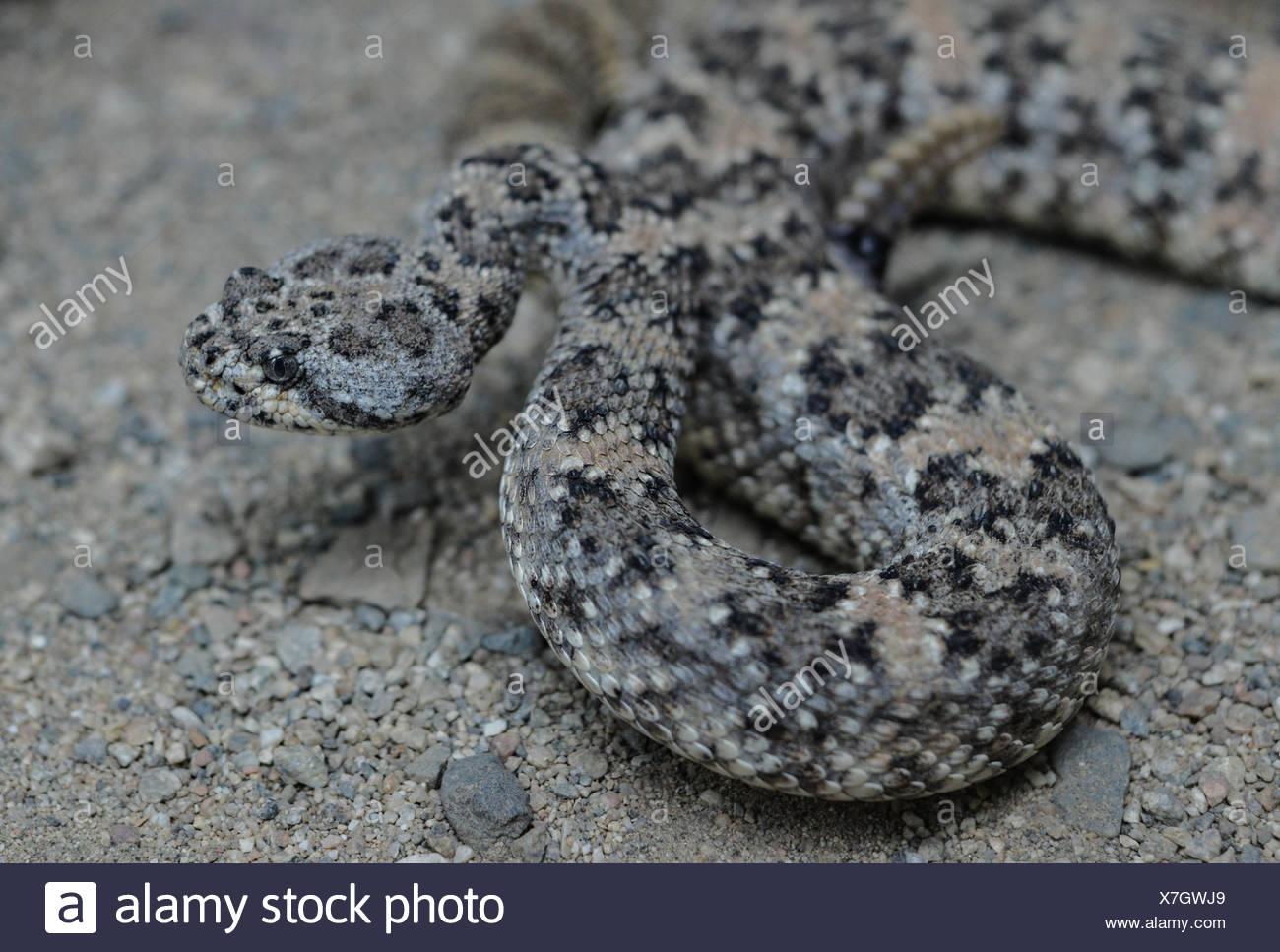 A California Rattlesnake prepares to strike in the desert of Southern California. - Stock Image