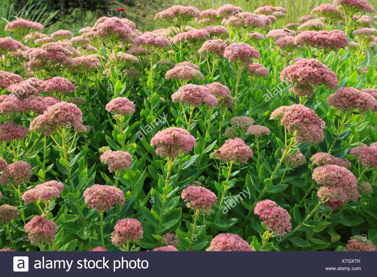 Orpine stonecrop, Garden stonecrop, Live-forever stonecrop (Sedum telephium, Hylotelephium telephium), blooming in a garden - Stock Image