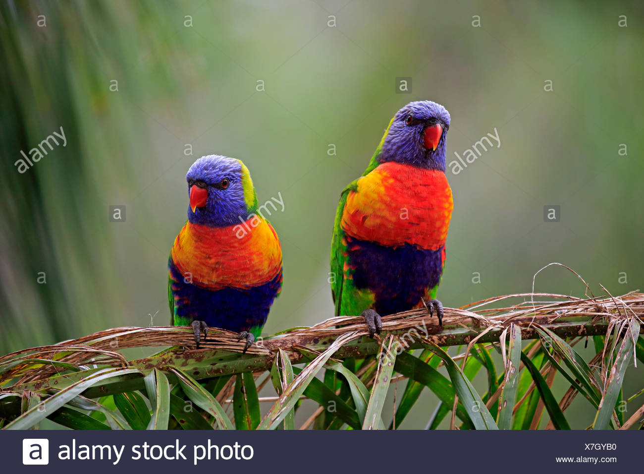 Rainbow Lorikeet (Trichoglossus haematodus), animal couple sitting on reed, Cuddly Creek, South Australia, Australia - Stock Image