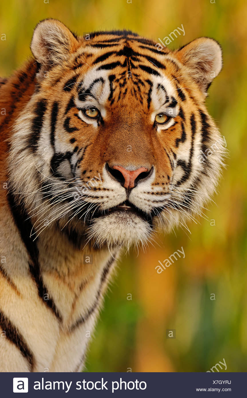 Siberian Tiger or Amur Tiger (Panthera tigris altaica), portrait, native to Asia, in captivity - Stock Image