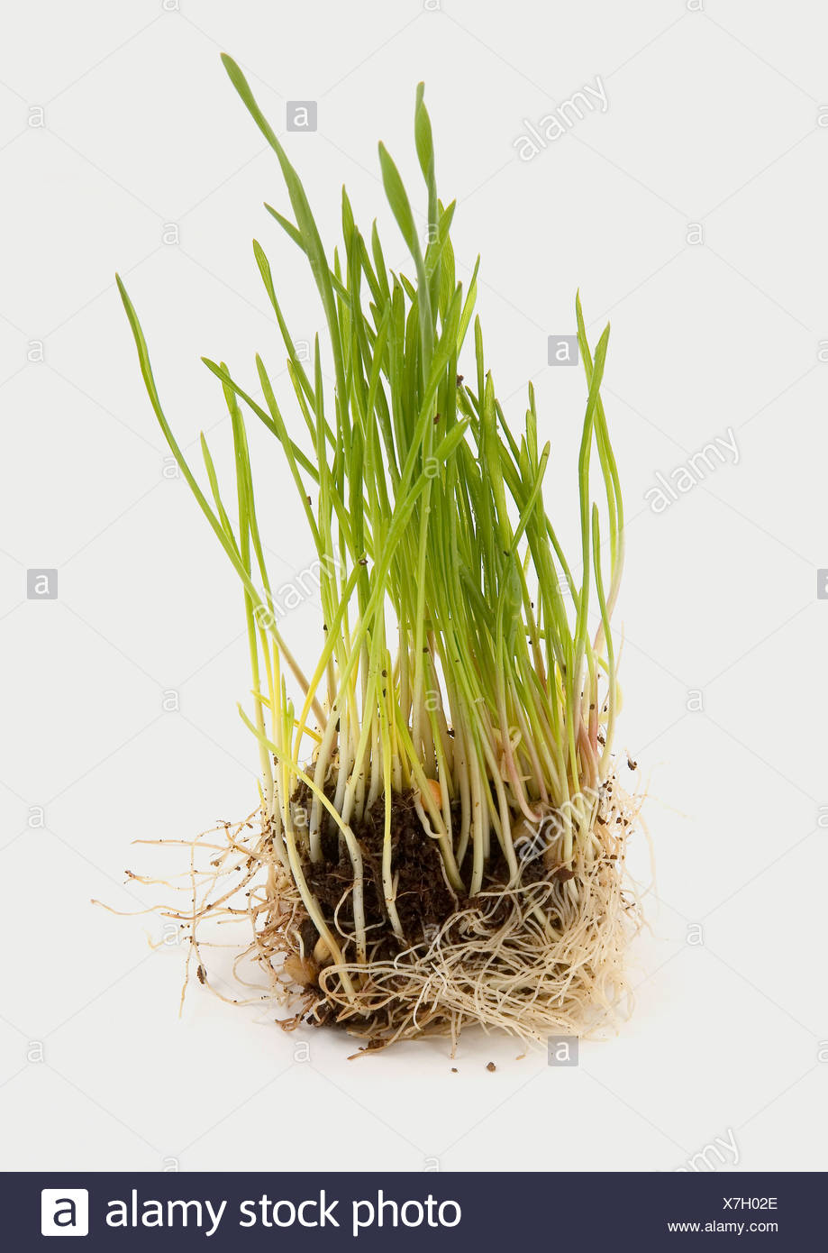 Close-up of wheat grass - Stock Image
