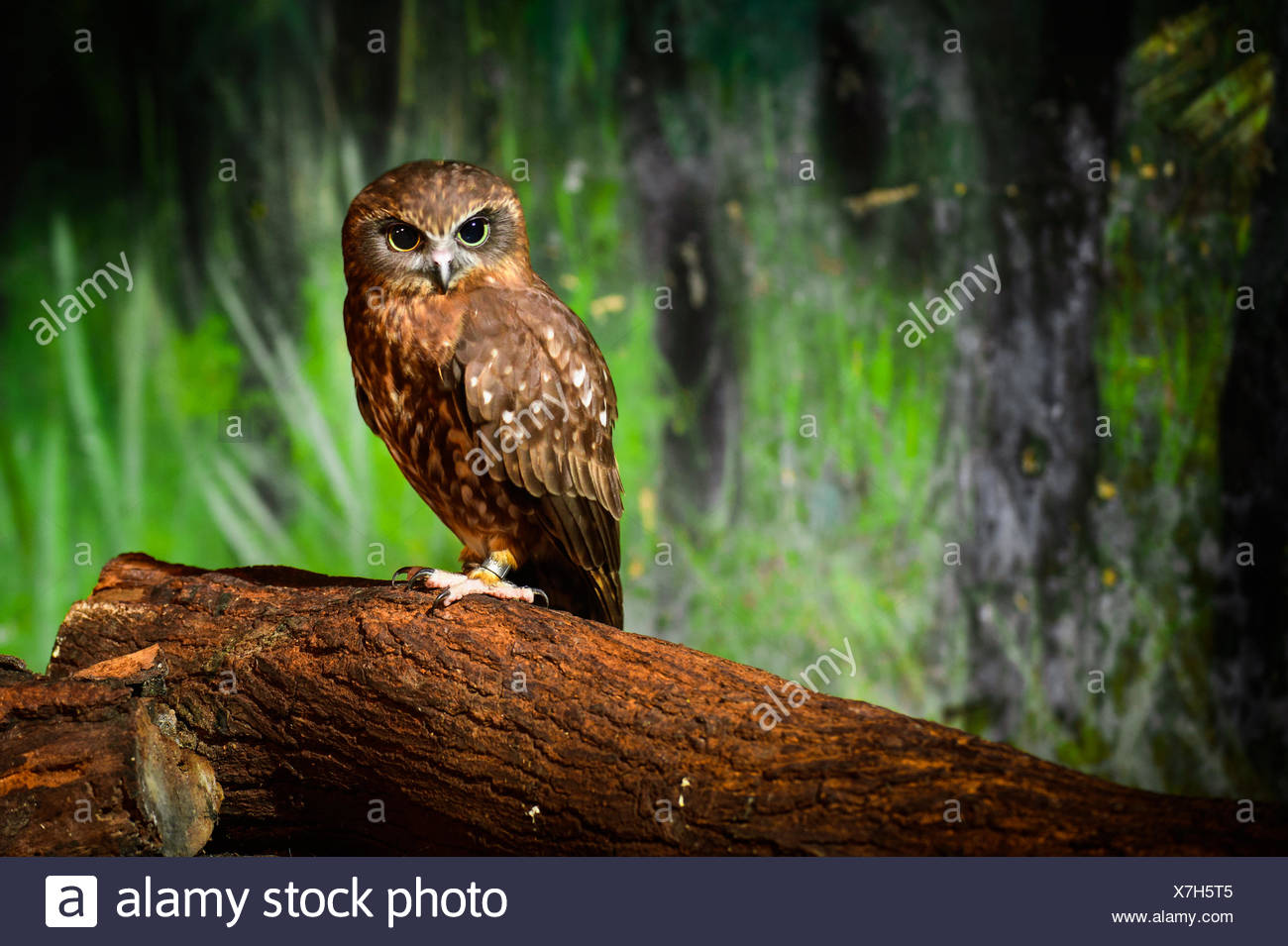 Portrait of brown owl, Thailand - Stock Image