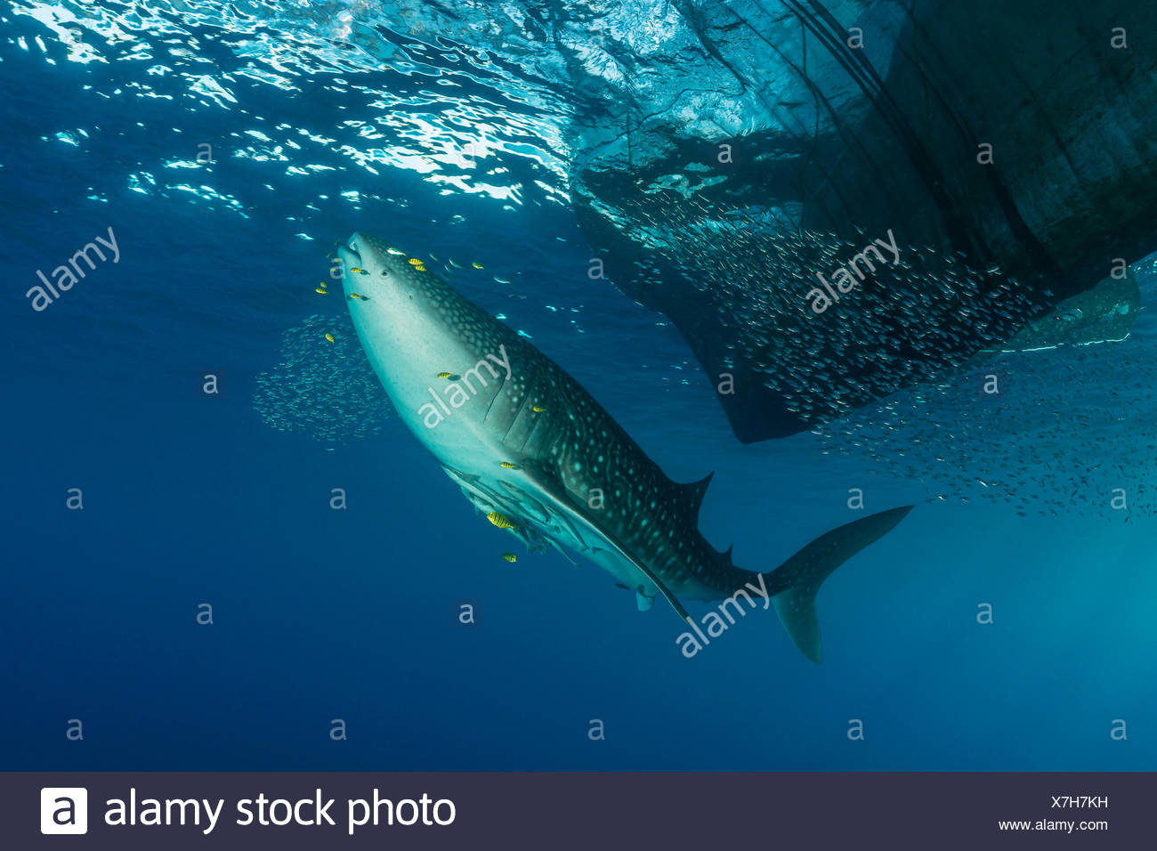 Whale Shark underneath Fishing Platform, Rhincodon typus, Cenderawasih Bay, West Papua, Indonesia - Stock Image