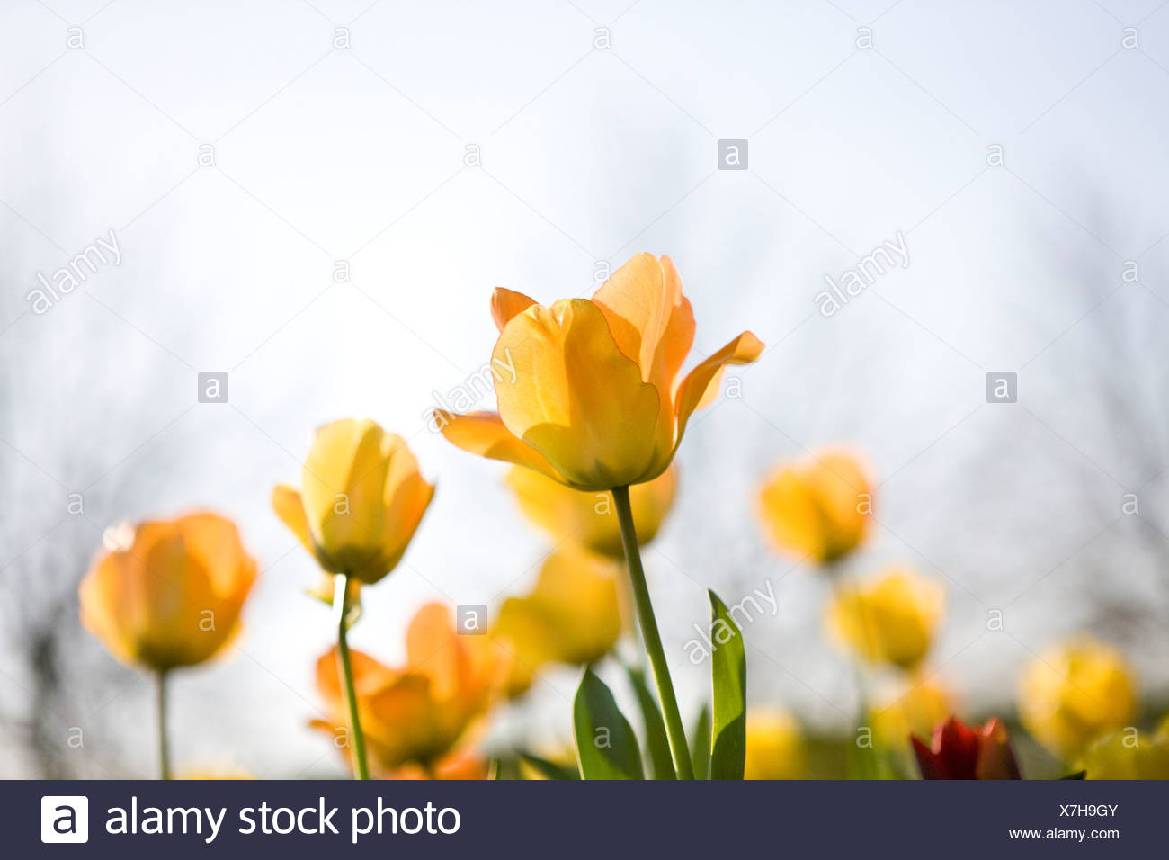 Yellow tulips in spring - Stock Image