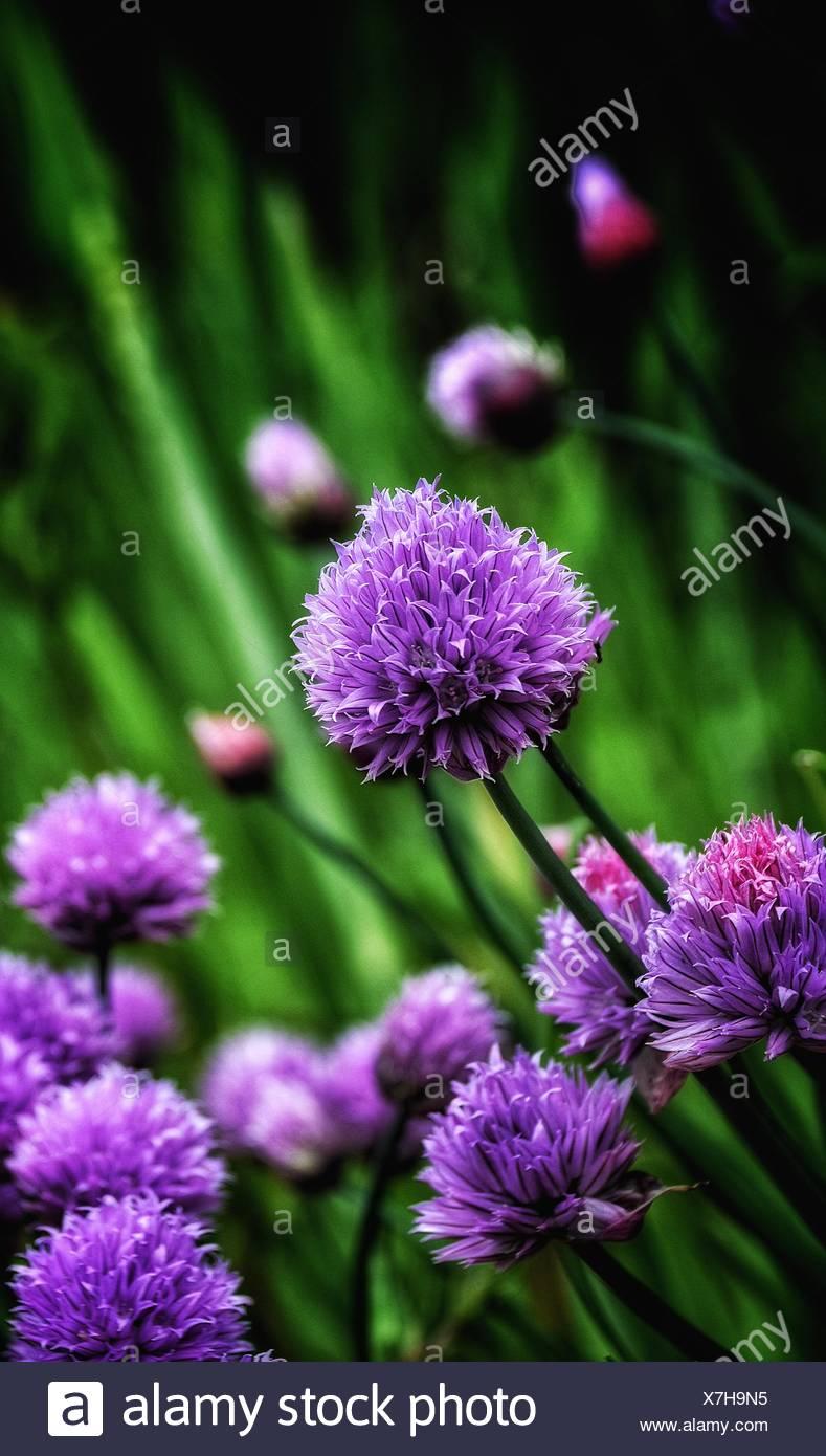 Close-Up Of Purple Allium Flowers - Stock Image