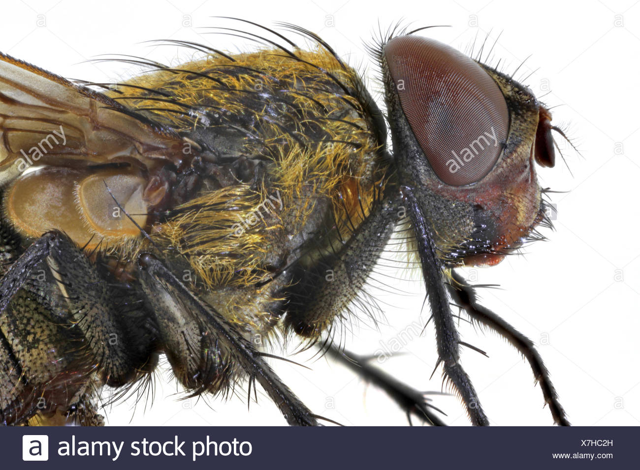 true flies (Brachycera, Diptera), head and thorax of a fly, lateral view Stock Photo