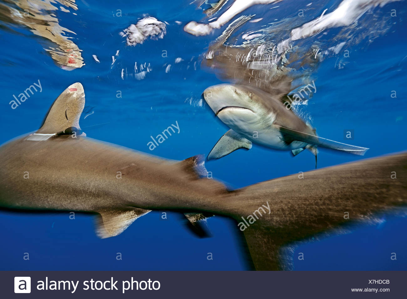 An oceanic whitetip shark, Carcharhinus longimanus, with satellite and identification tags, swims in the waters off Cat Island in the Bahamas. - Stock Image