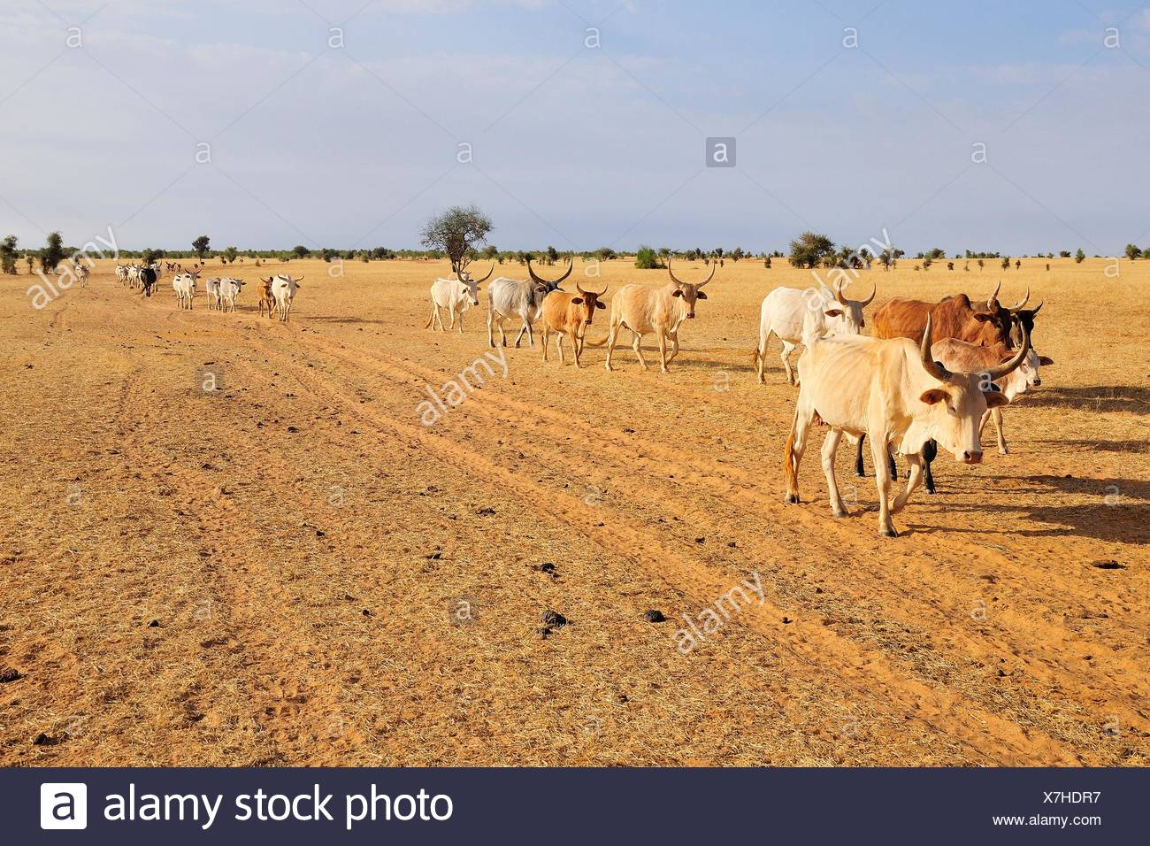 Cattle walking across the steppe, at Aleg, Brakna region, Mauritania - Stock Image