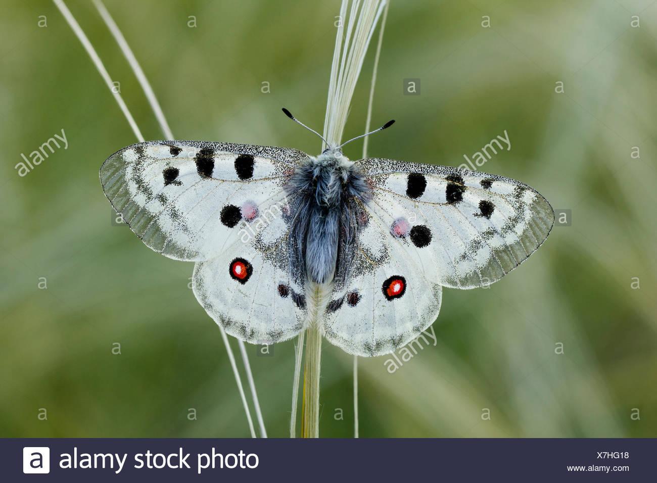 Animal, Insect, Butterfly, Papilionidae, Apollo, Parnassius apollo, Lepidoptera, Switzerland - Stock Image