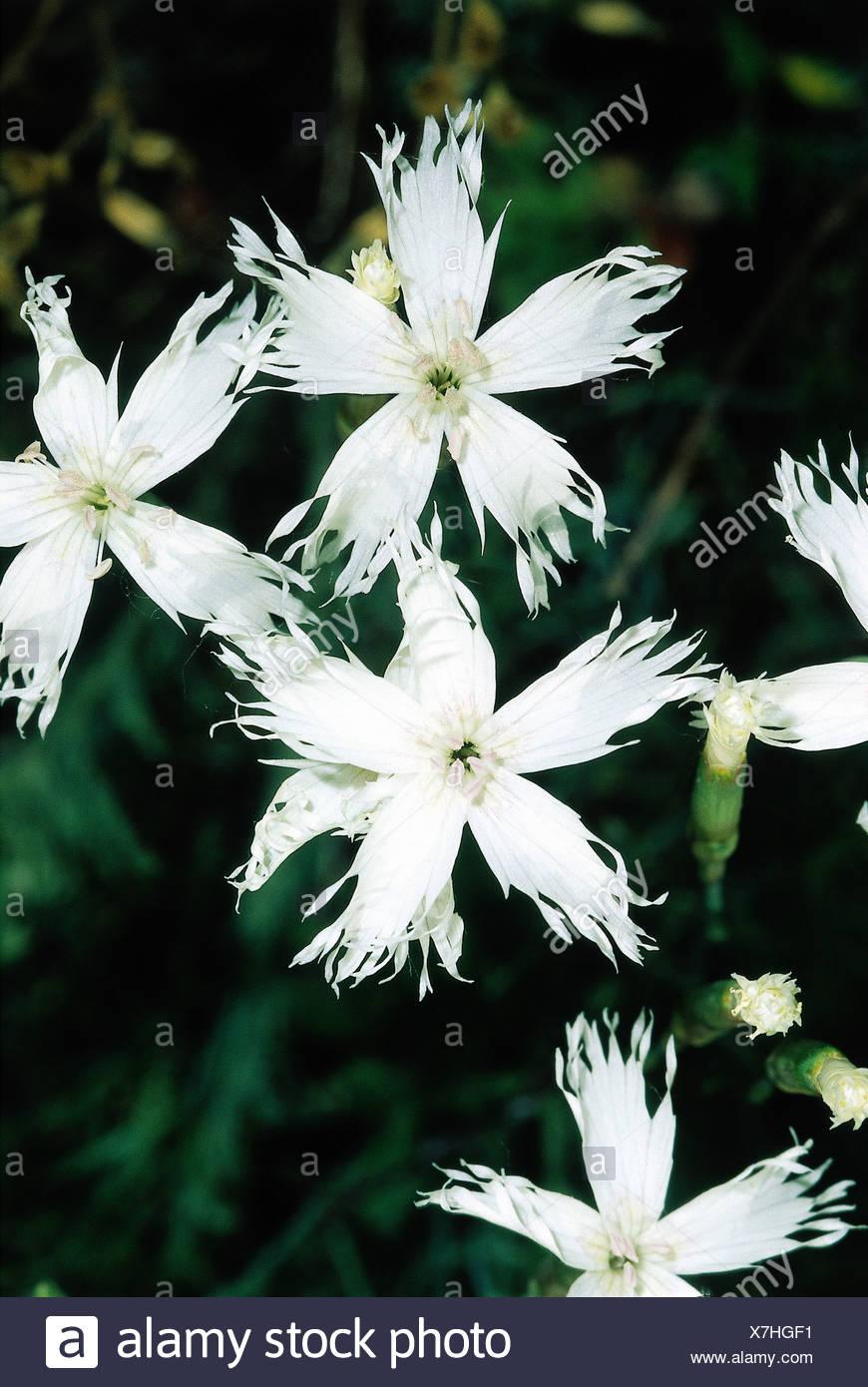 """botany, pink, (Dianthus), ""Hainburger Federnelke"", (Dianthus lumnitzeri), blossoms, white, blooming, flowering, Plumaris, Car Stock Photo"