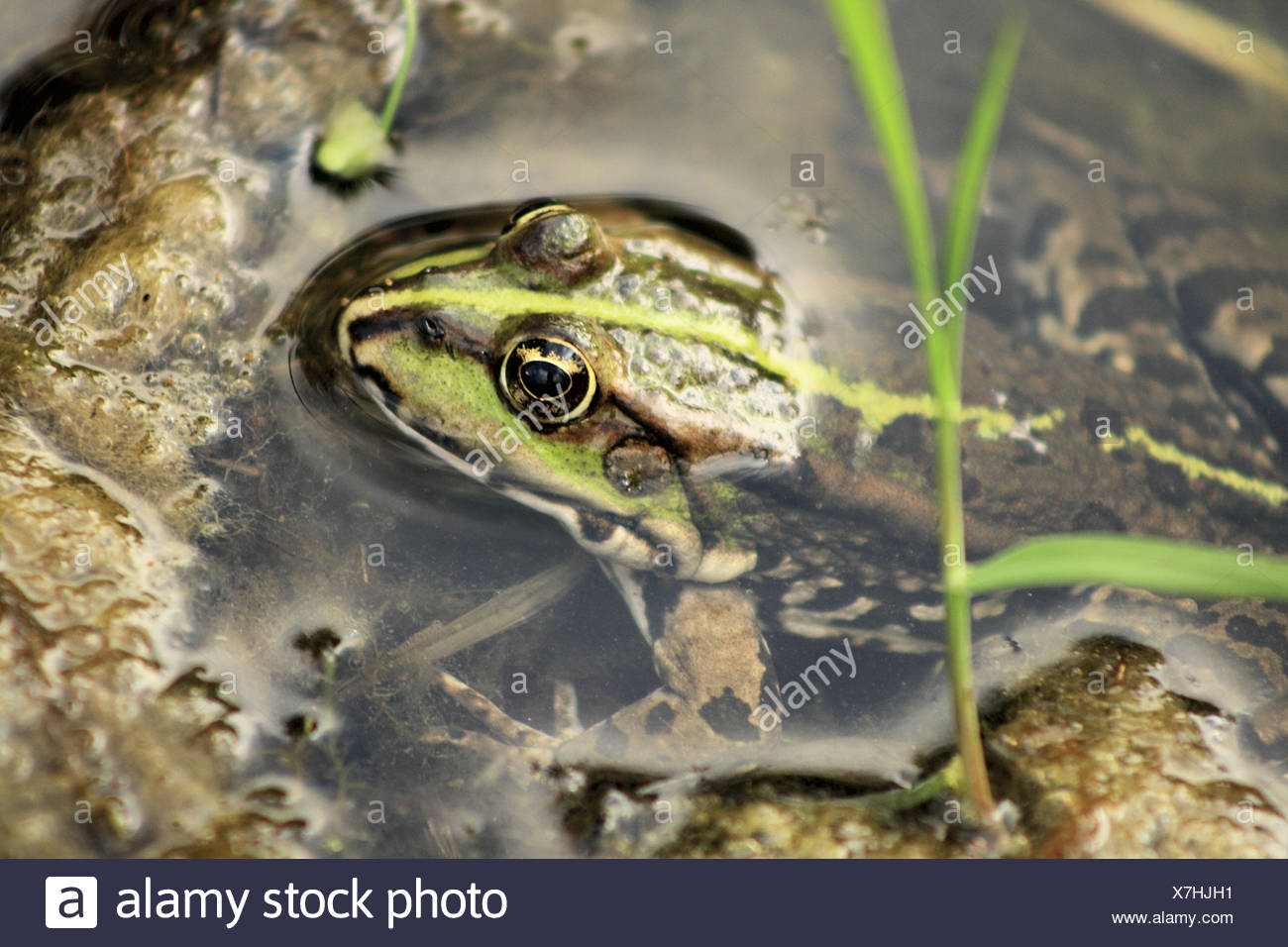 Young female Edible Frog (Rana esculenta) squats in shallow water. View is from above. The Edible Frog is easily confused with - Stock Image