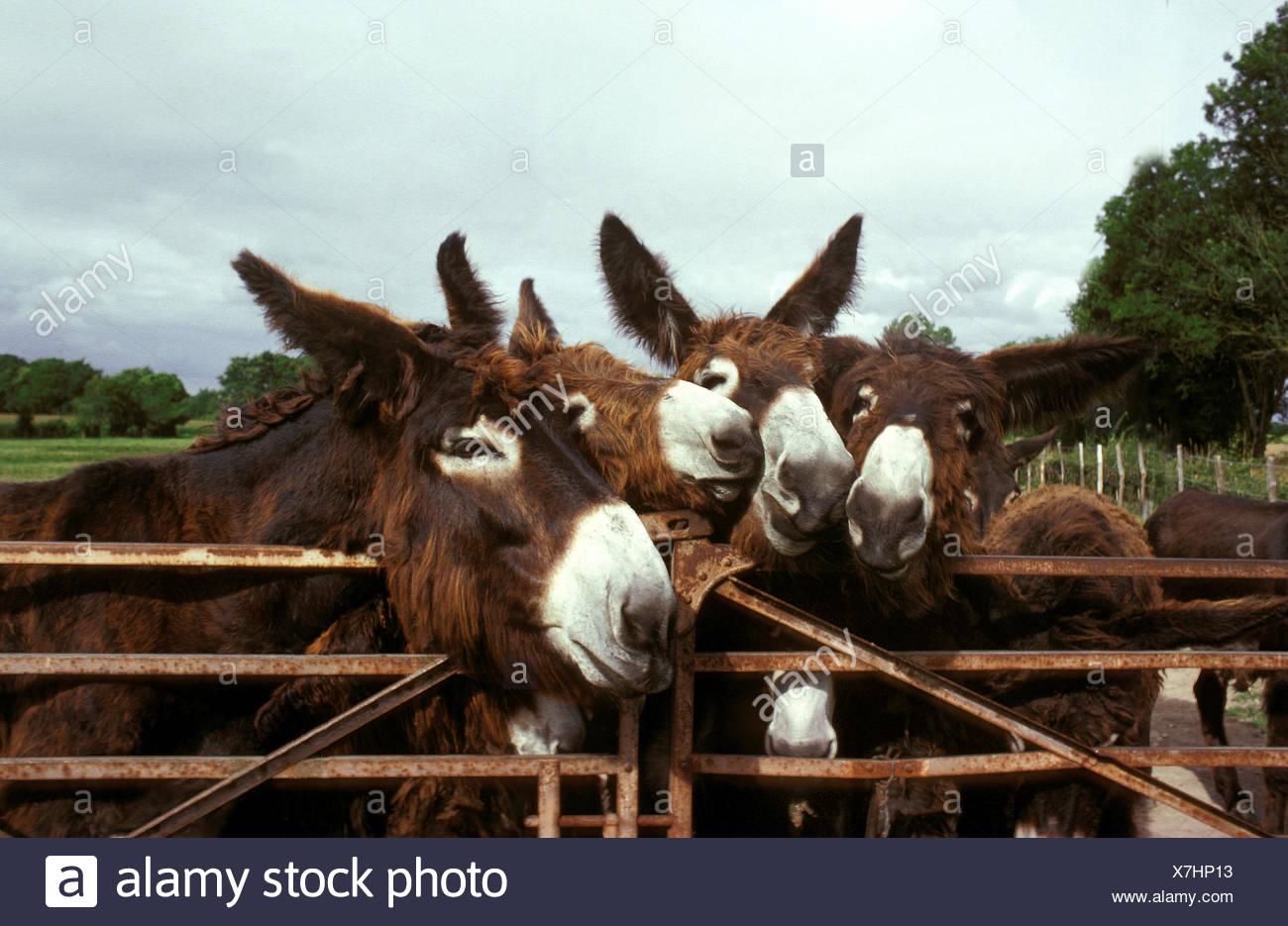 Poitou Donkey or Baudet du Poitou, a French Breed, Group at Paddock's Door - Stock Image