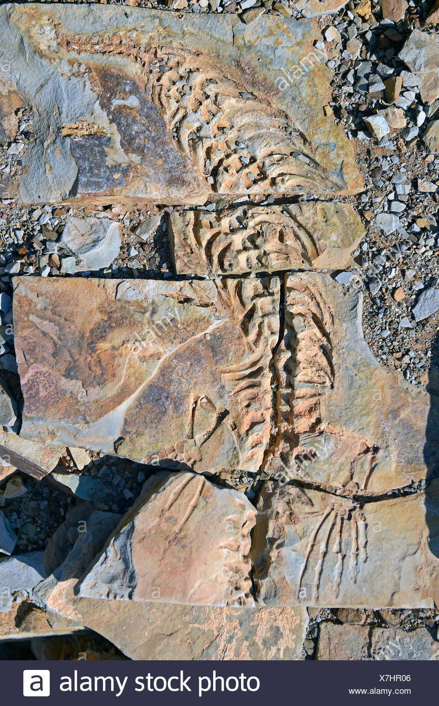 Mesosaurus tenuidens fossil, extinct genus of reptile from the Early Permian, approx. 290 million years, near Keetmanshoop - Stock Image