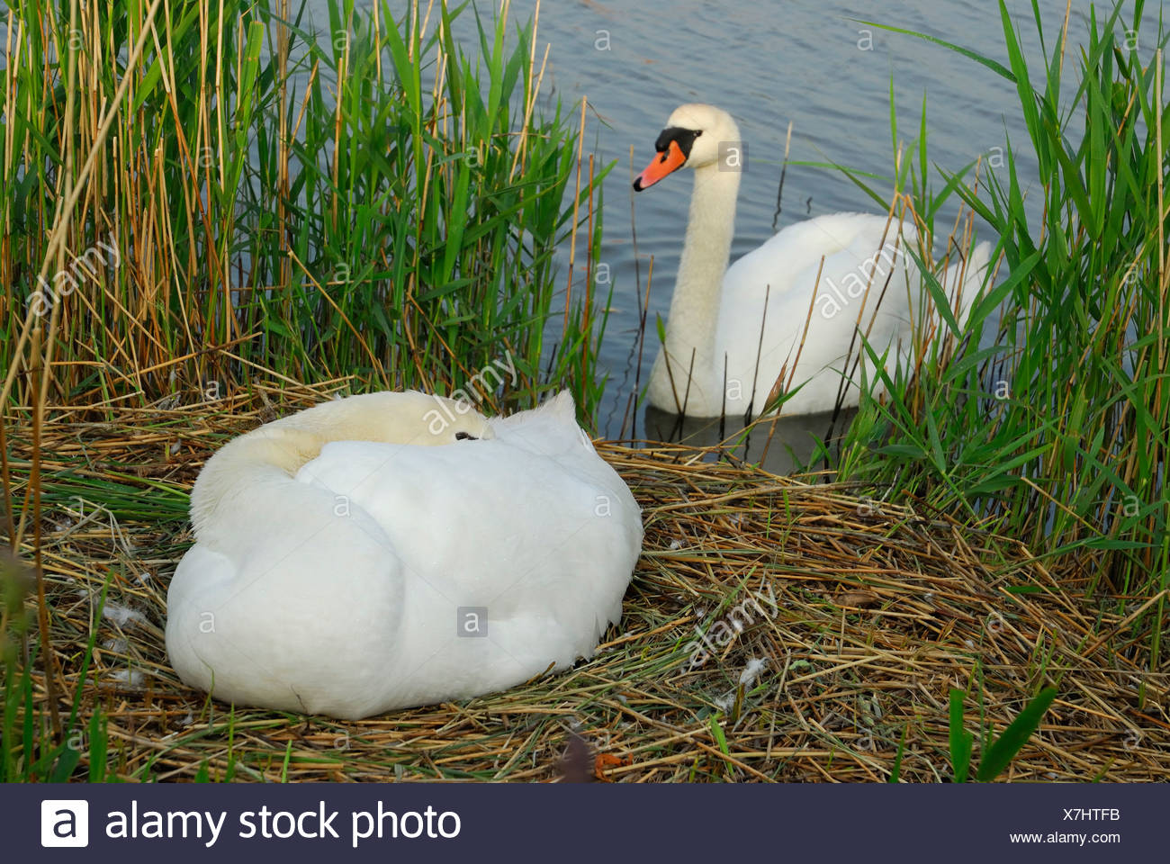 mute swan (Cygnus olor), couple, one individual sitting on the nest,  breeding whle the other is swimming in front of the nest, Netherlands, Texel - Stock Image
