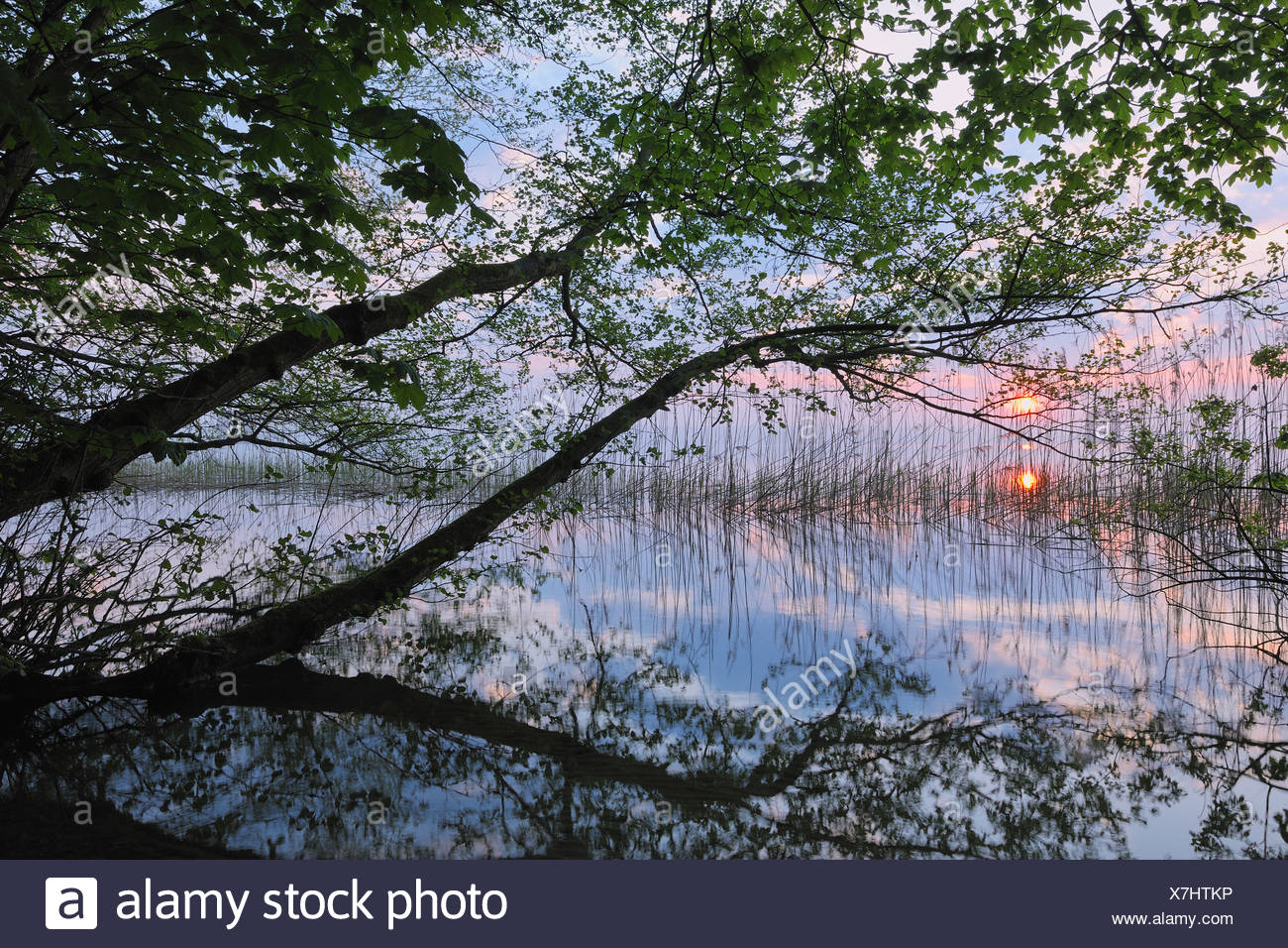 Germany, Mecklenburg-Vorpommern, Mecklenburger Seenplatte, Plau am See, View of sunrise with reeds and trees at lakeshore - Stock Image