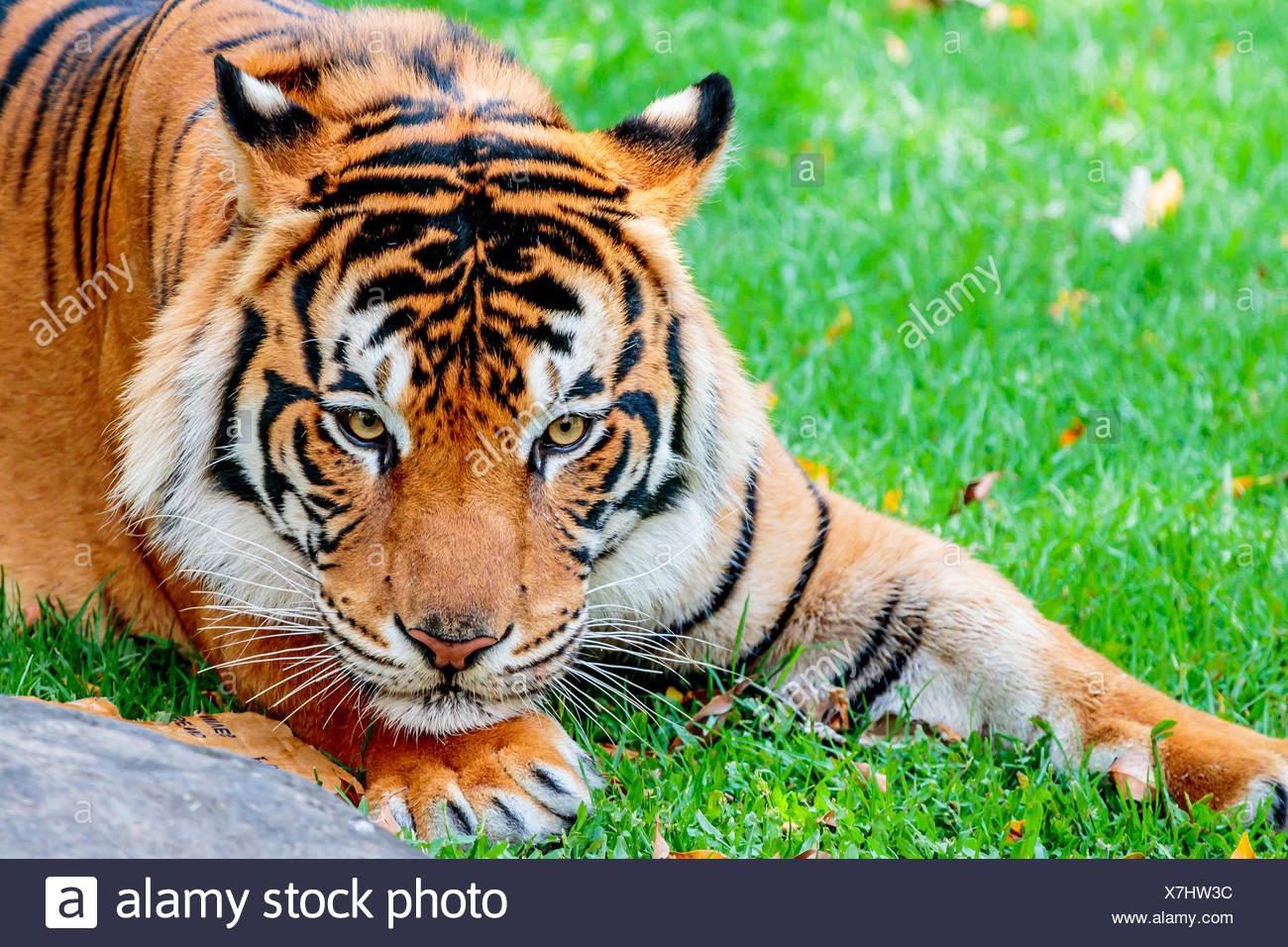 Pre-pounce Tiger - Stock Image
