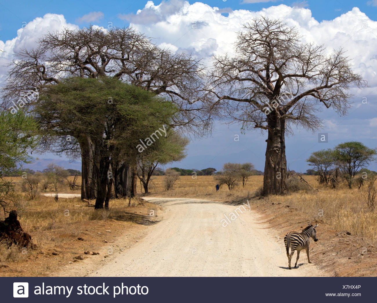 Zebra crossing road, Tarangire National Park, Manyara,  Tanzania Stock Photo