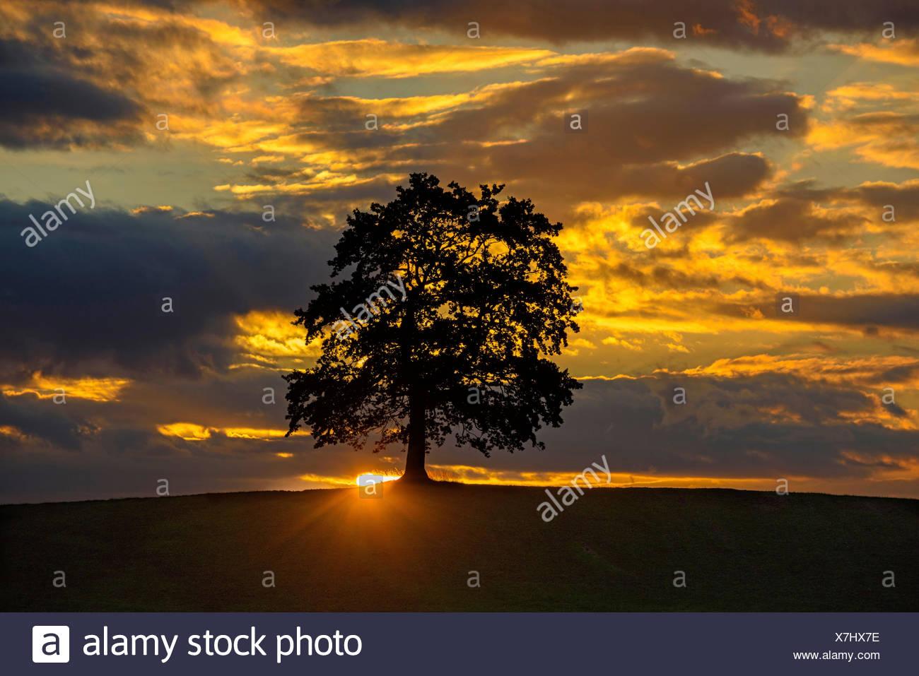 Baum vor leuchtenden Wolken bei Sonnenuntergang, Deutschland, Bayern, Allgaeu   tree at sunset, Germany, Bavaria, Allgaeu   BLWS - Stock Image