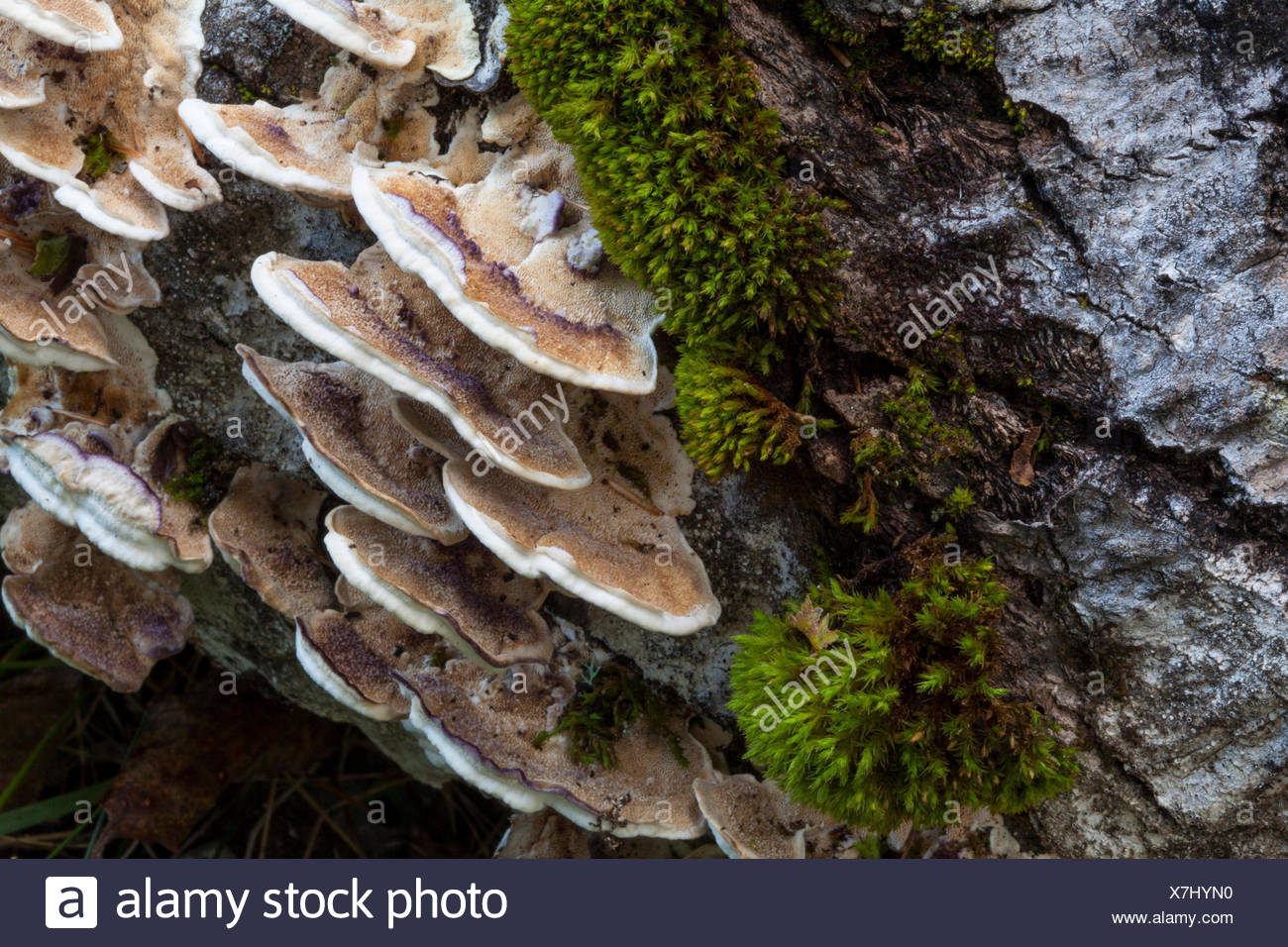 Turkey tail mushrooms, valued for their medicinal properties, are common in Maine. - Stock Image