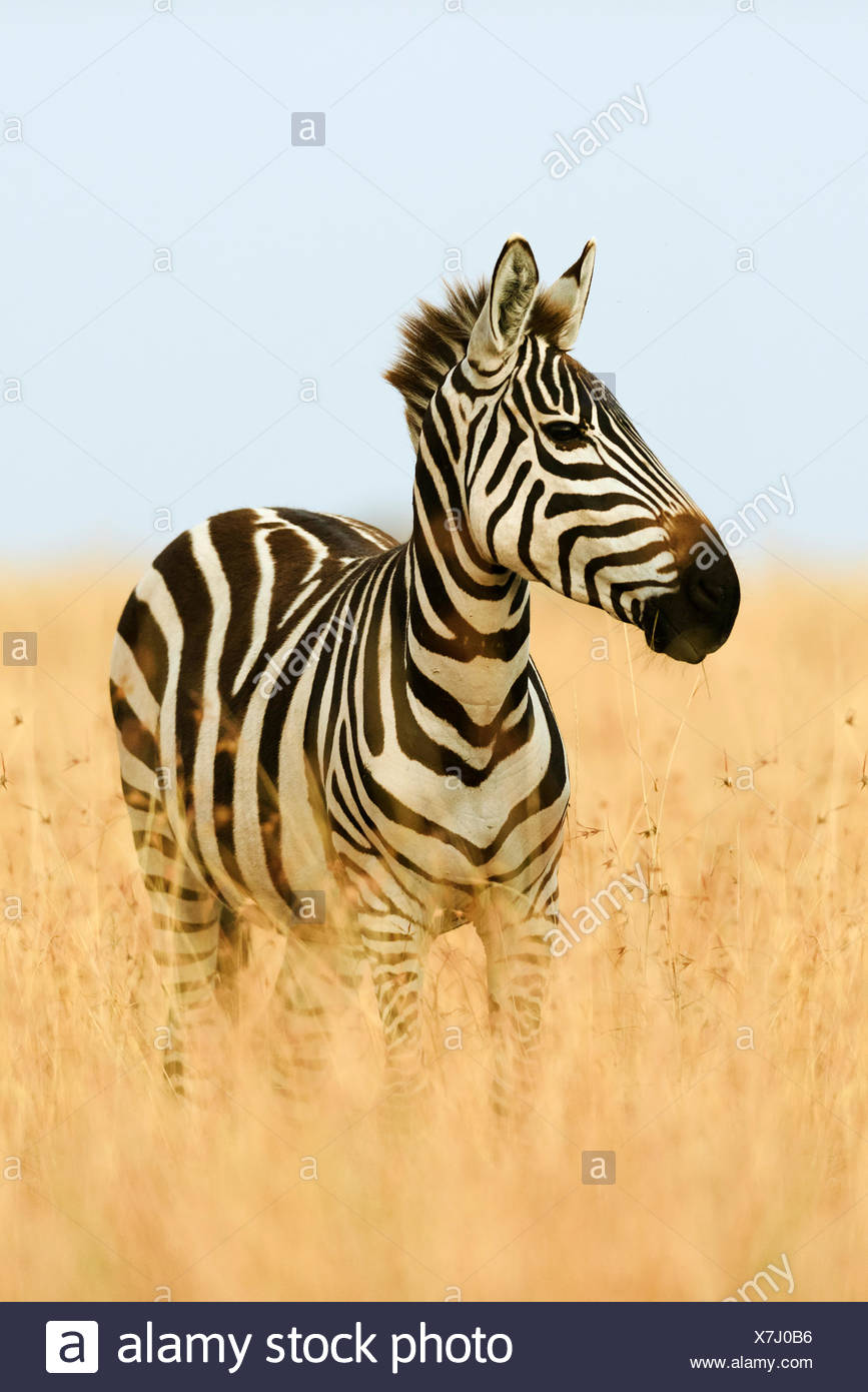 Plains zebra (Equus quagga) in tall grass, morning light, Masai Mara, Narok County, Kenya - Stock Image