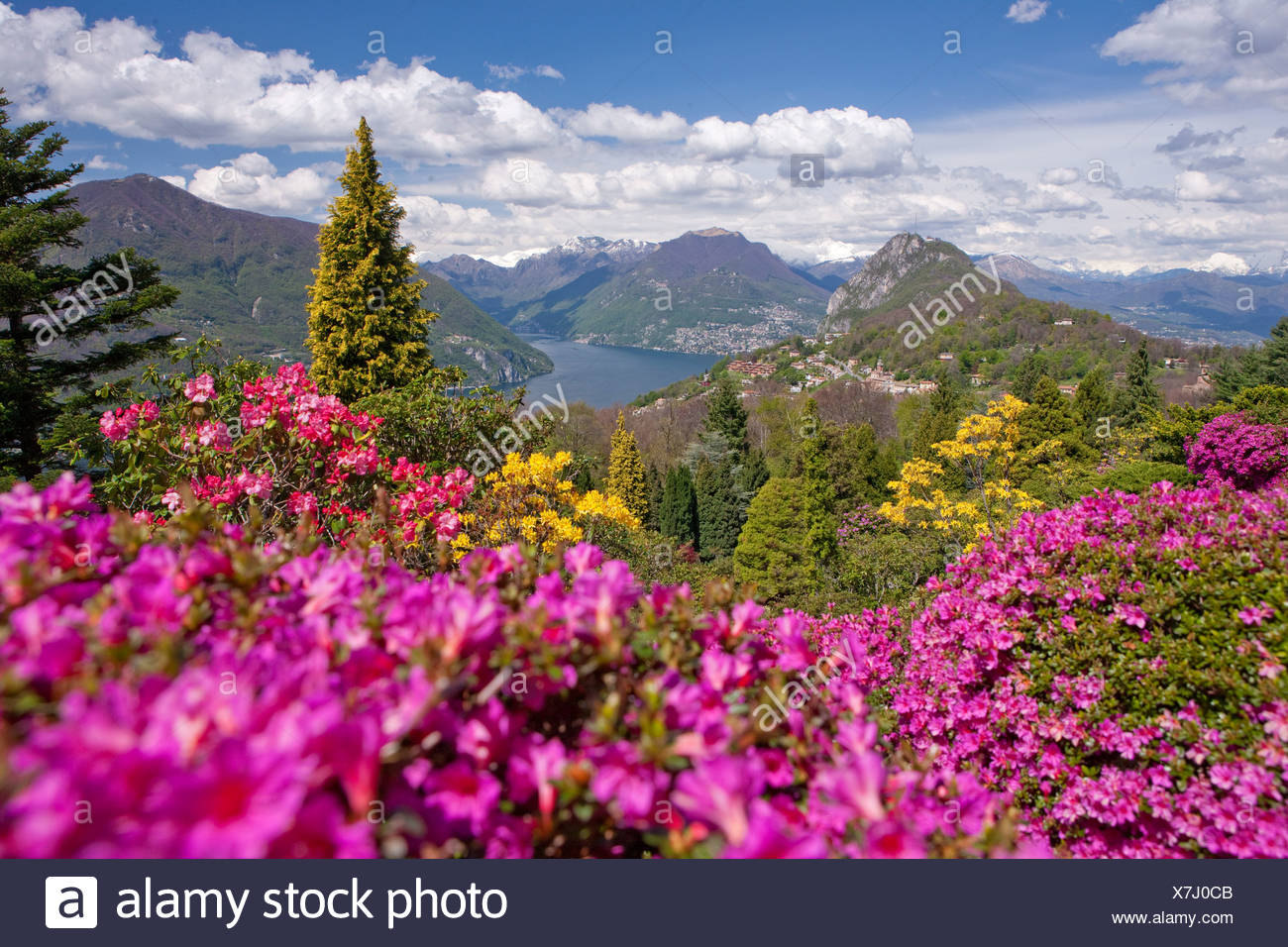 blossom, rhododendron, Parco San Grato, Carona, canton, TI, Ticino, South Switzerland, flower, flowers, park, Switzerland, Europ - Stock Image