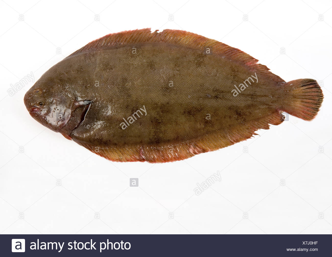Dover sole on white background - Stock Image
