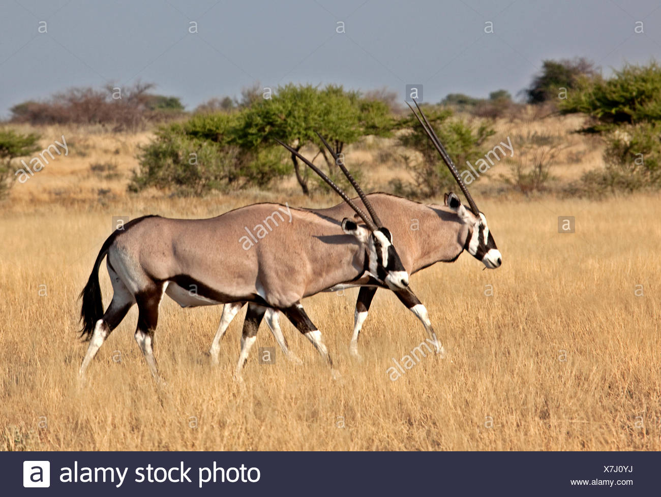 Gemsbok, oryx gazella, Central Kalahari Game Reserve, Botswana, Africa - Stock Image