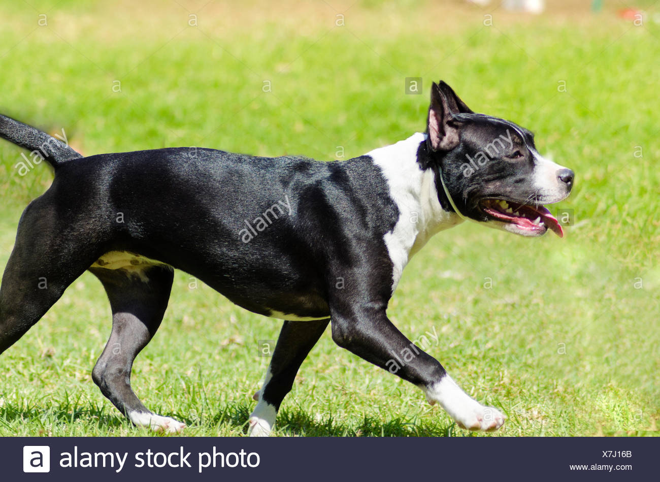 black american staffordshire terrier american staffy stock photos american staffy stock 3467