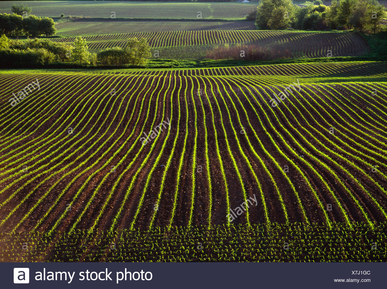 Agriculture - Rolling fields of early growth grain corn in early morning light / near La Fox, Illinois, USA. Stock Photo