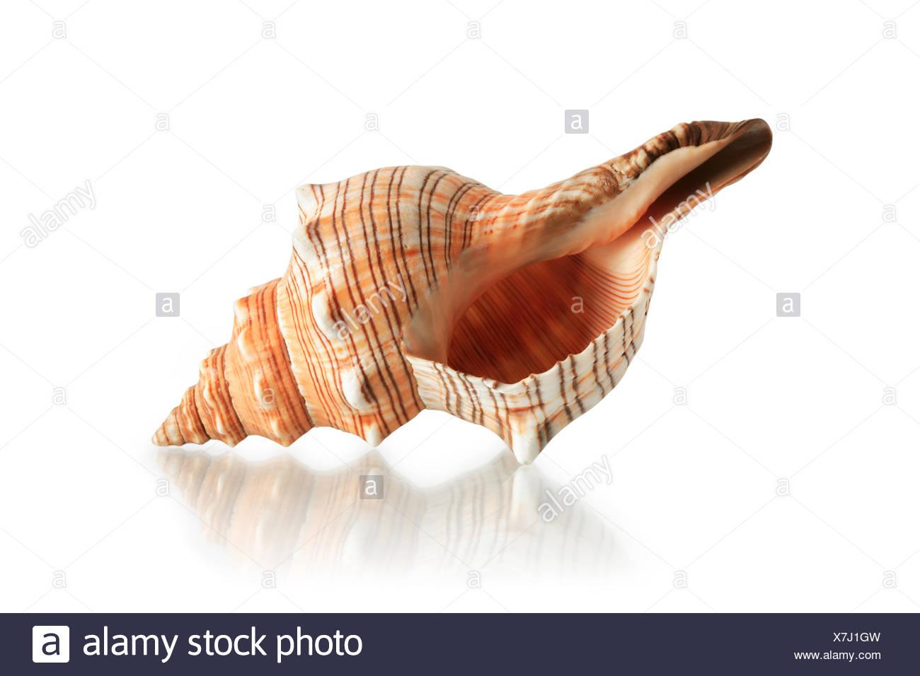 Seashell On White - Stock Image