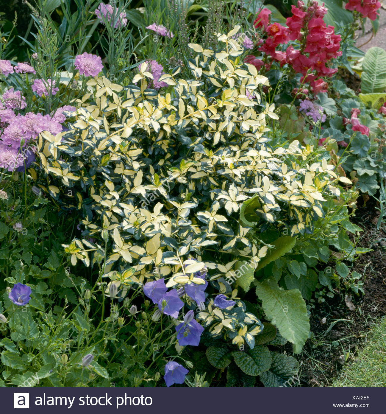 Euonymus fortunei - `Blondy'   TRS058038 - Stock Image